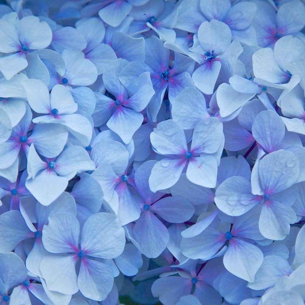 Обои цветы голубые