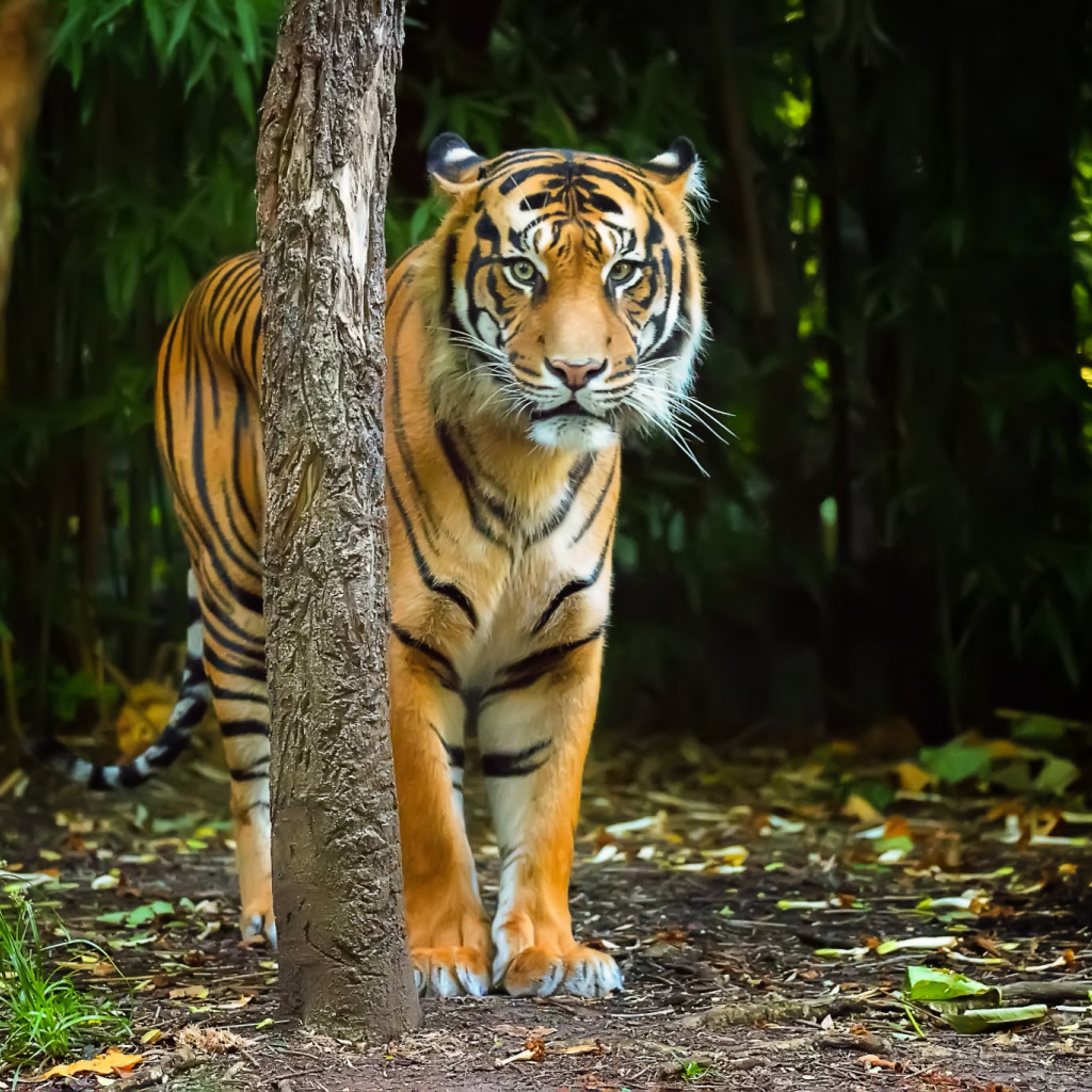Тигры картинки обои для телефона