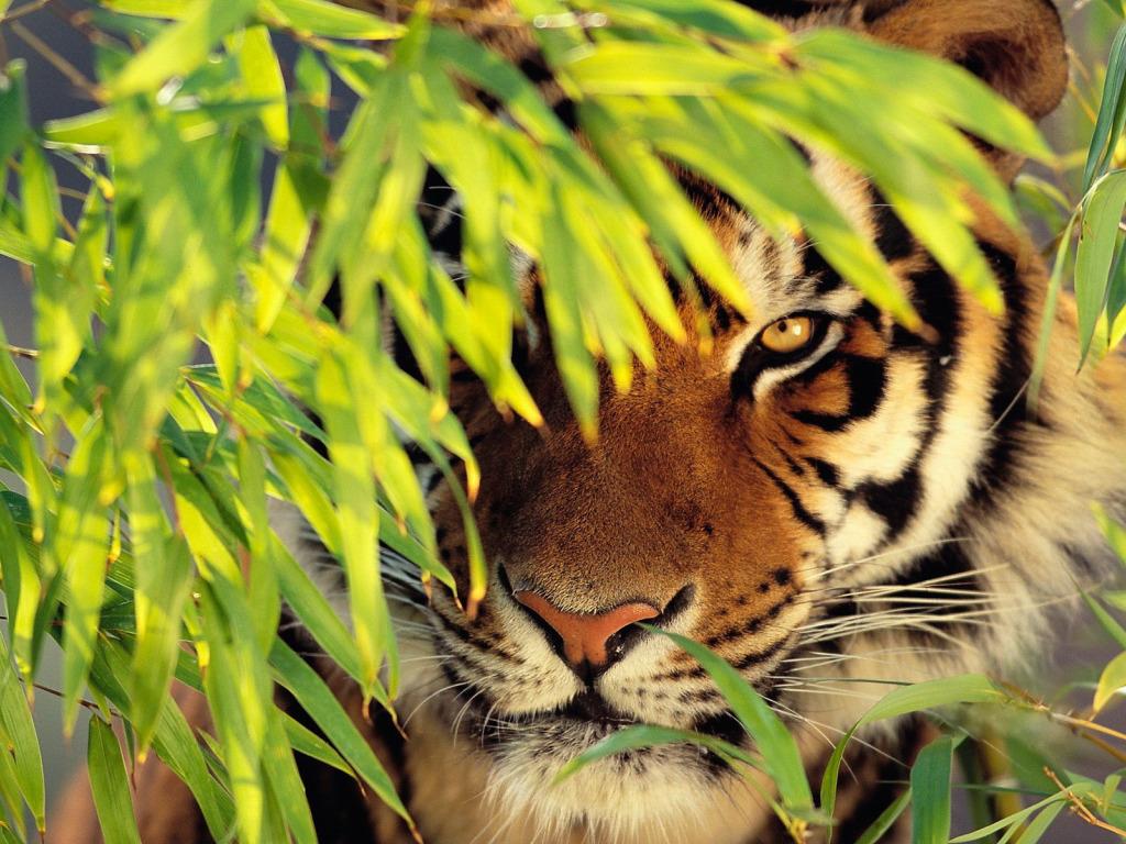 картинки для планшета тигр этого