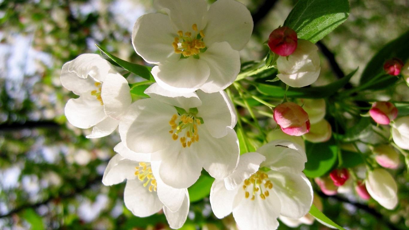 обои для рабочего стола цветущие яблони № 239696  скачать
