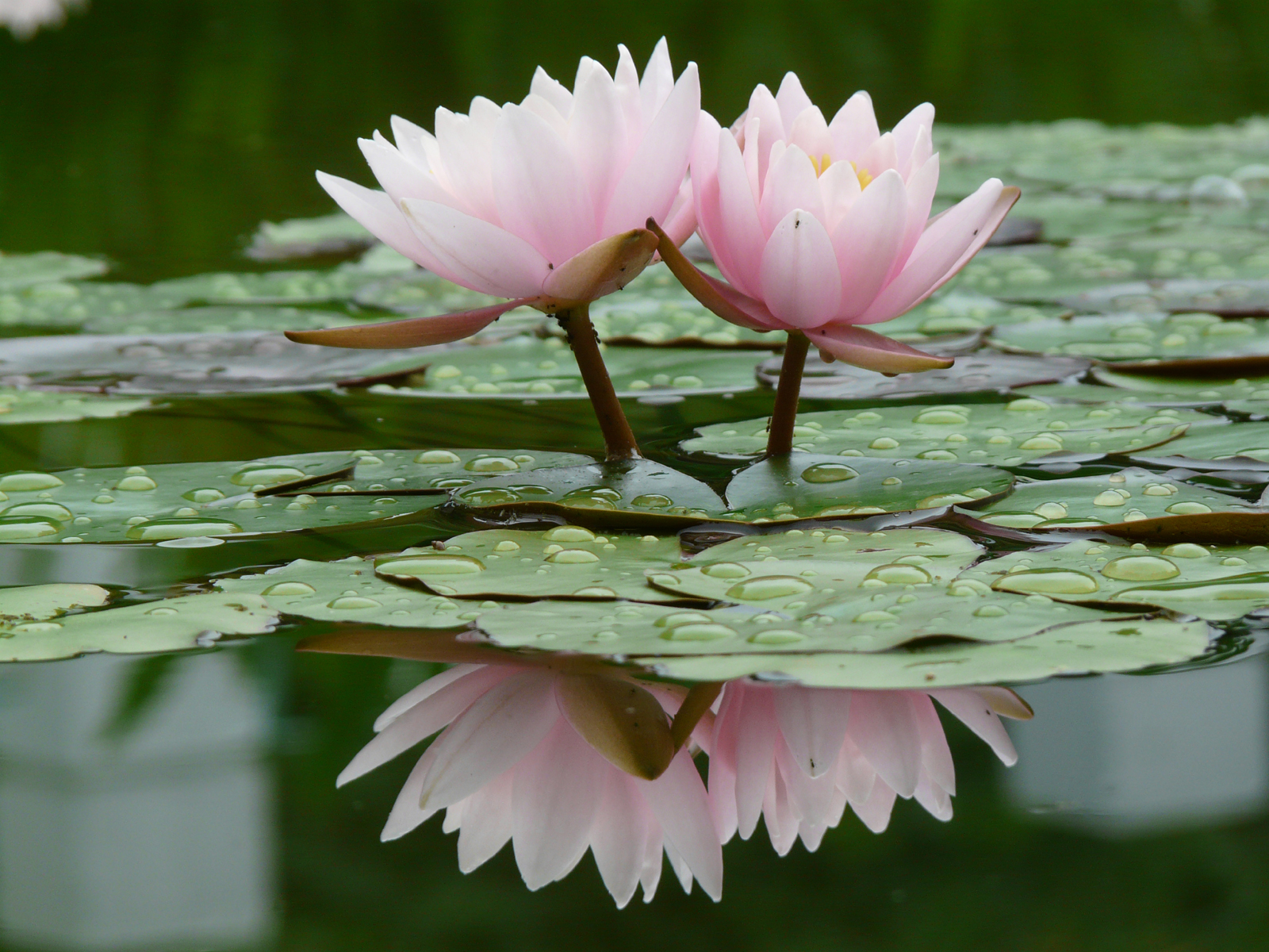 Озерные цветы фото и названия