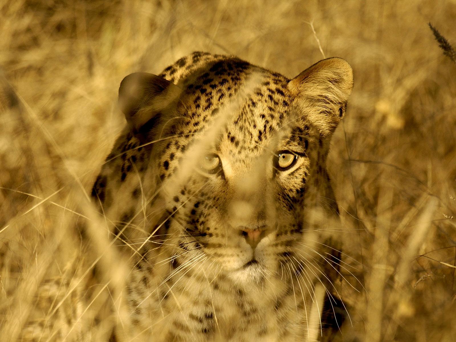 Затаившийся гепард  № 699214 бесплатно