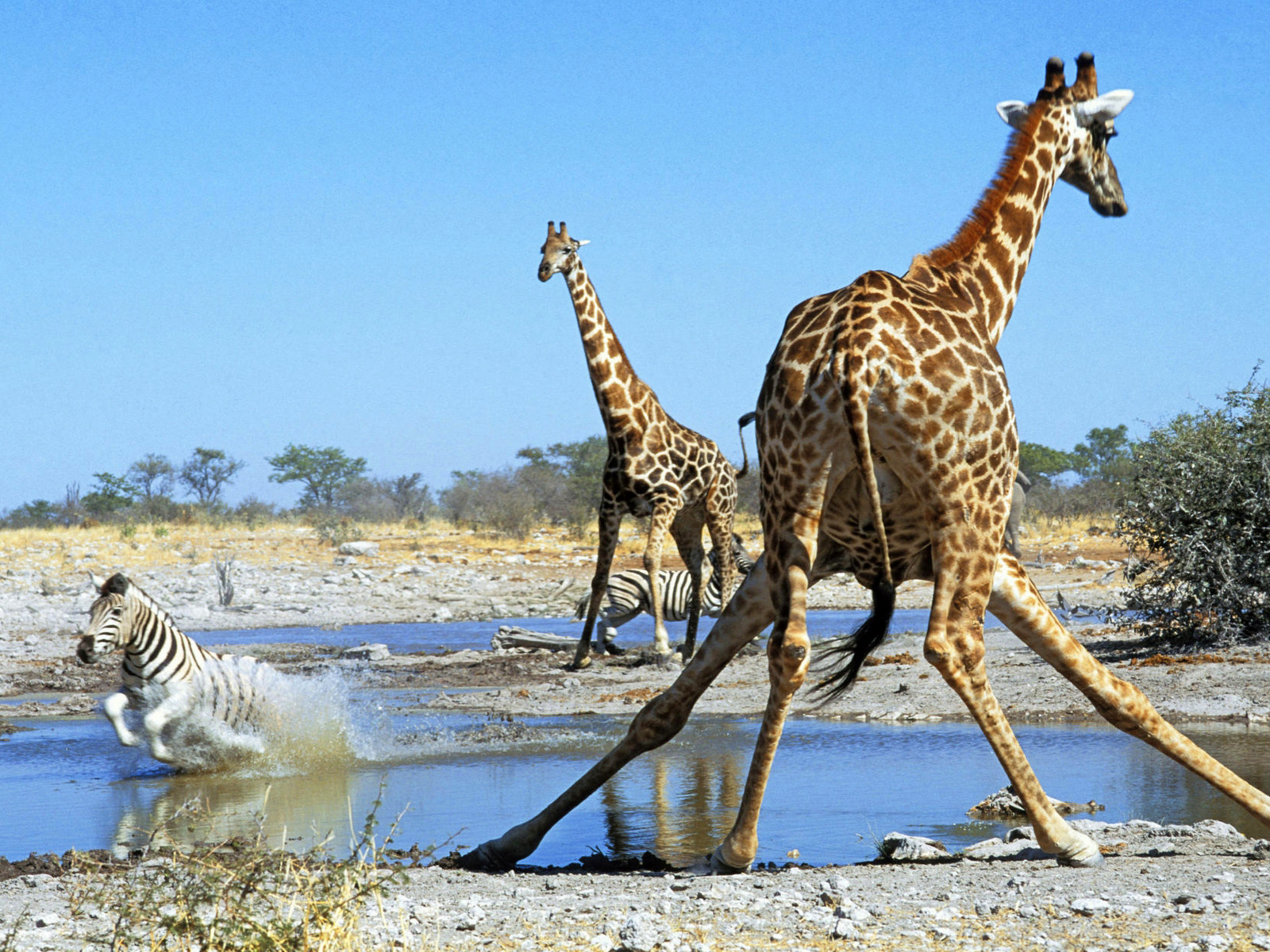 Thirsty Giraffes, Etosha National Park, Namibia  № 1442820 загрузить