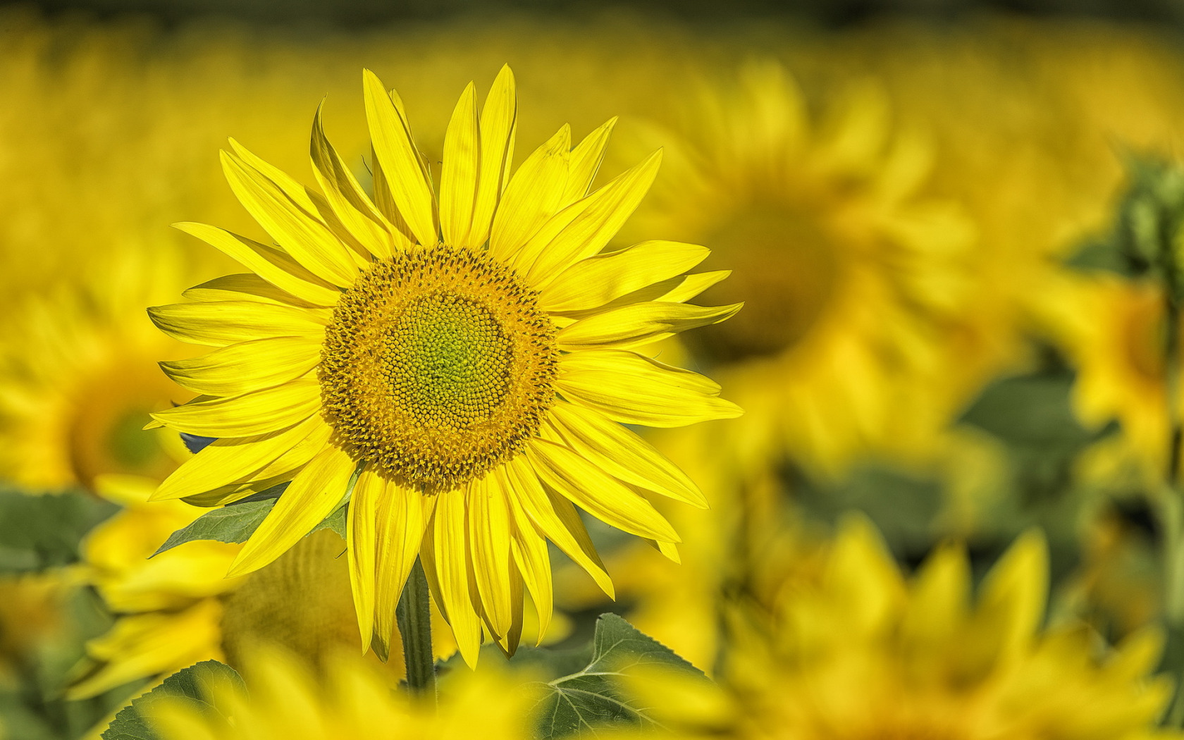 природа подсолнечник цветы nature sunflower flowers  № 2672106  скачать