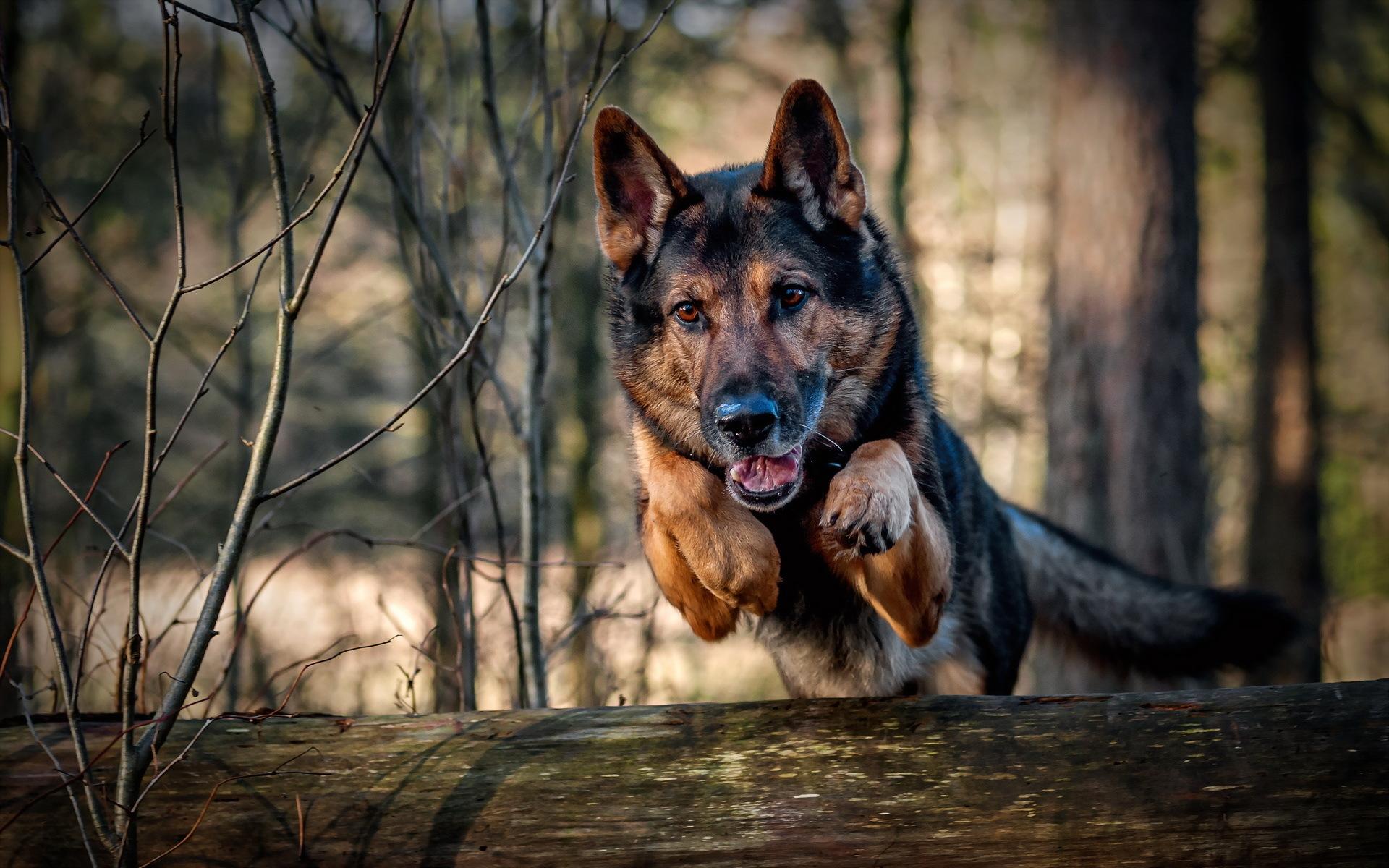 природа животные собака немецка овчарка nature animals dog the German shepherd  № 1004392 бесплатно