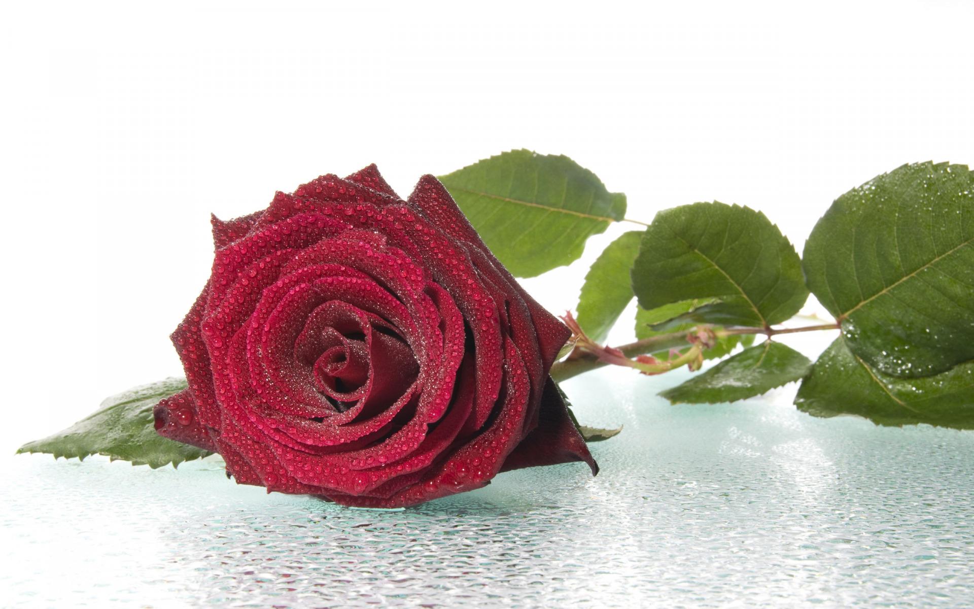 капустные одинокая роза открытка его