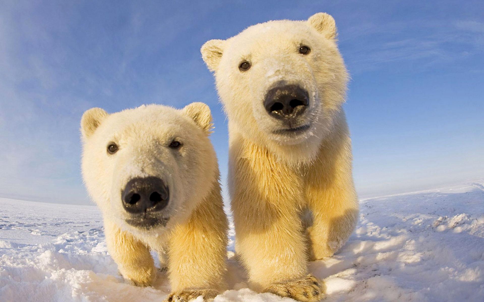 Свадьба, картинка с белым медведем и медвежонком