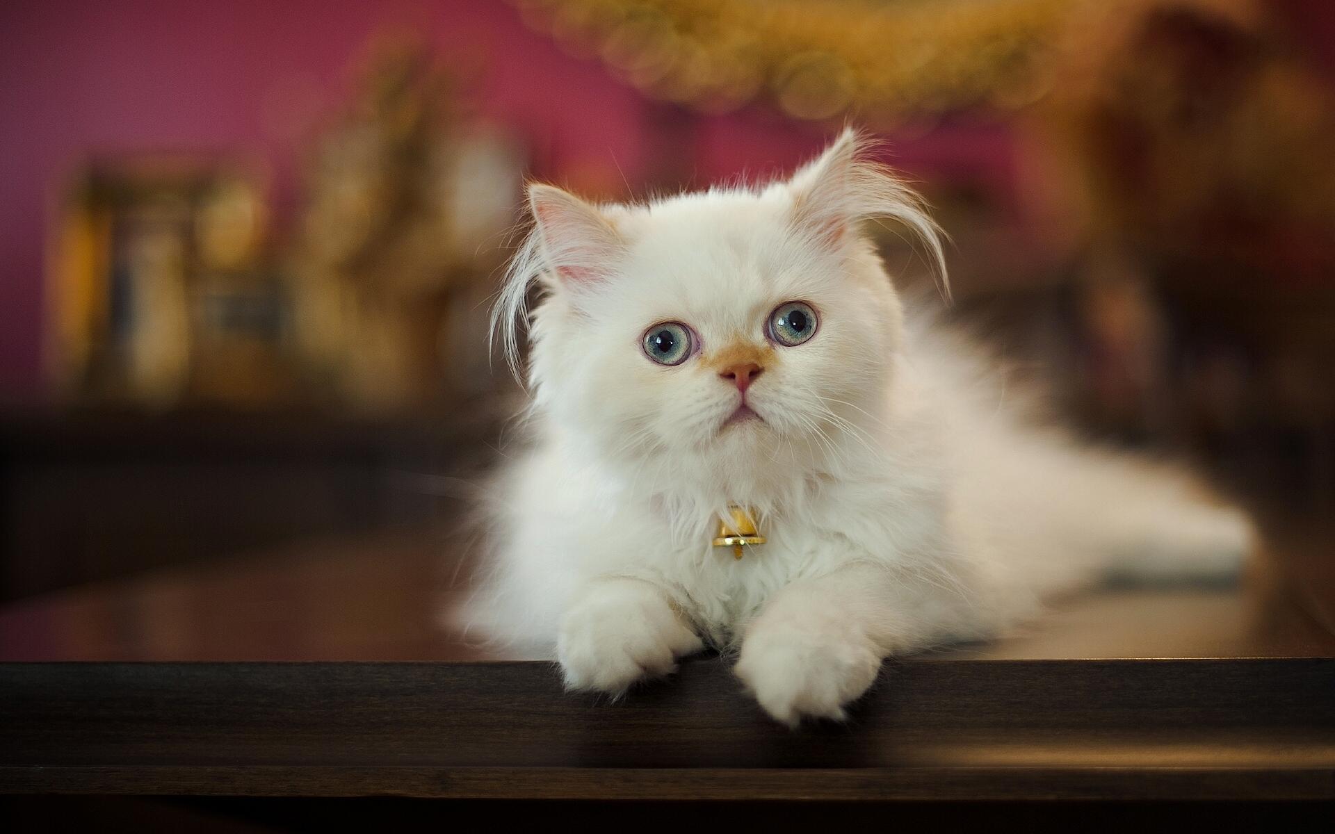 обои для рабочего стола кошки перс № 610820 бесплатно