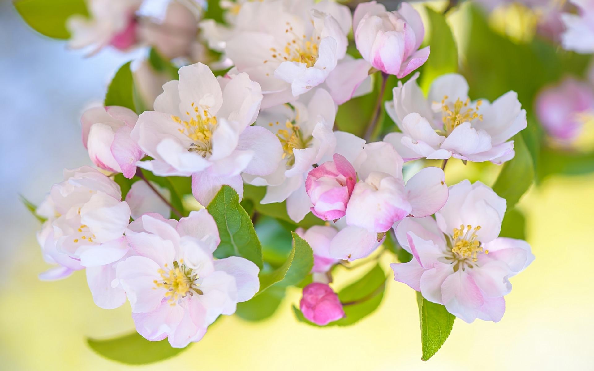 яблони в цвету обои на стол № 217637 без смс