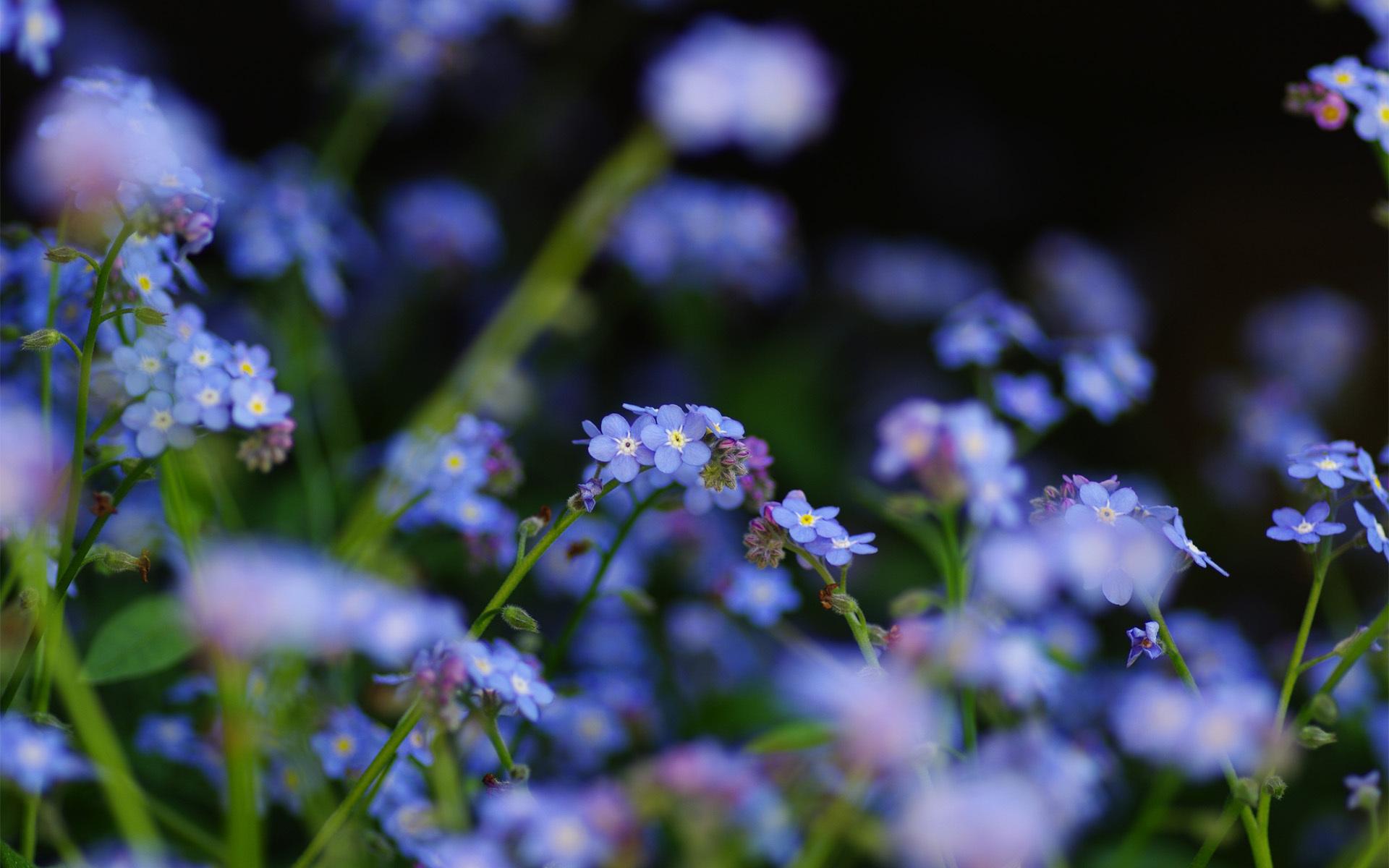 синие цветы незабудки крупный план роса  № 2779625  скачать