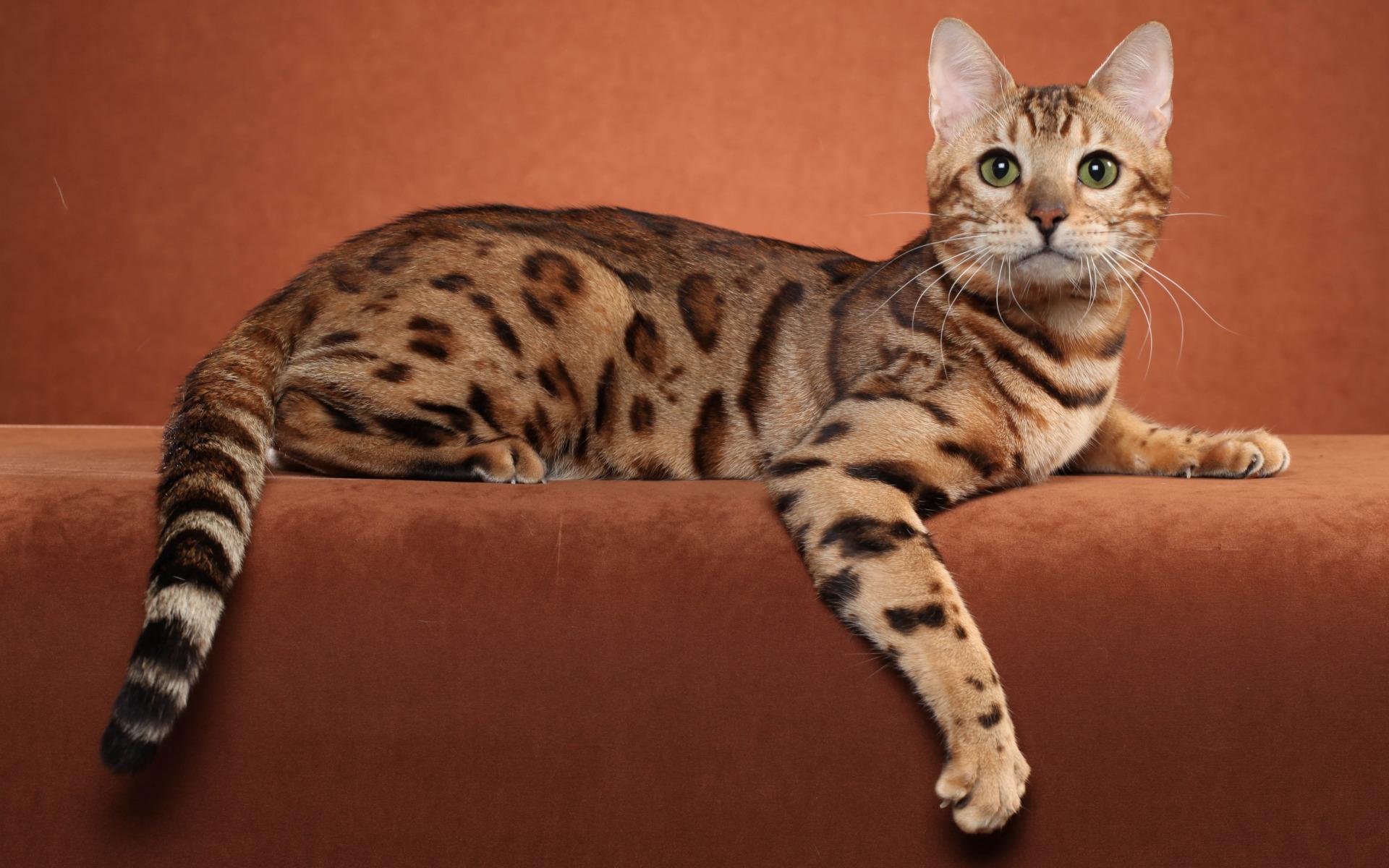 британские бенгальские коты фото практичные идеи
