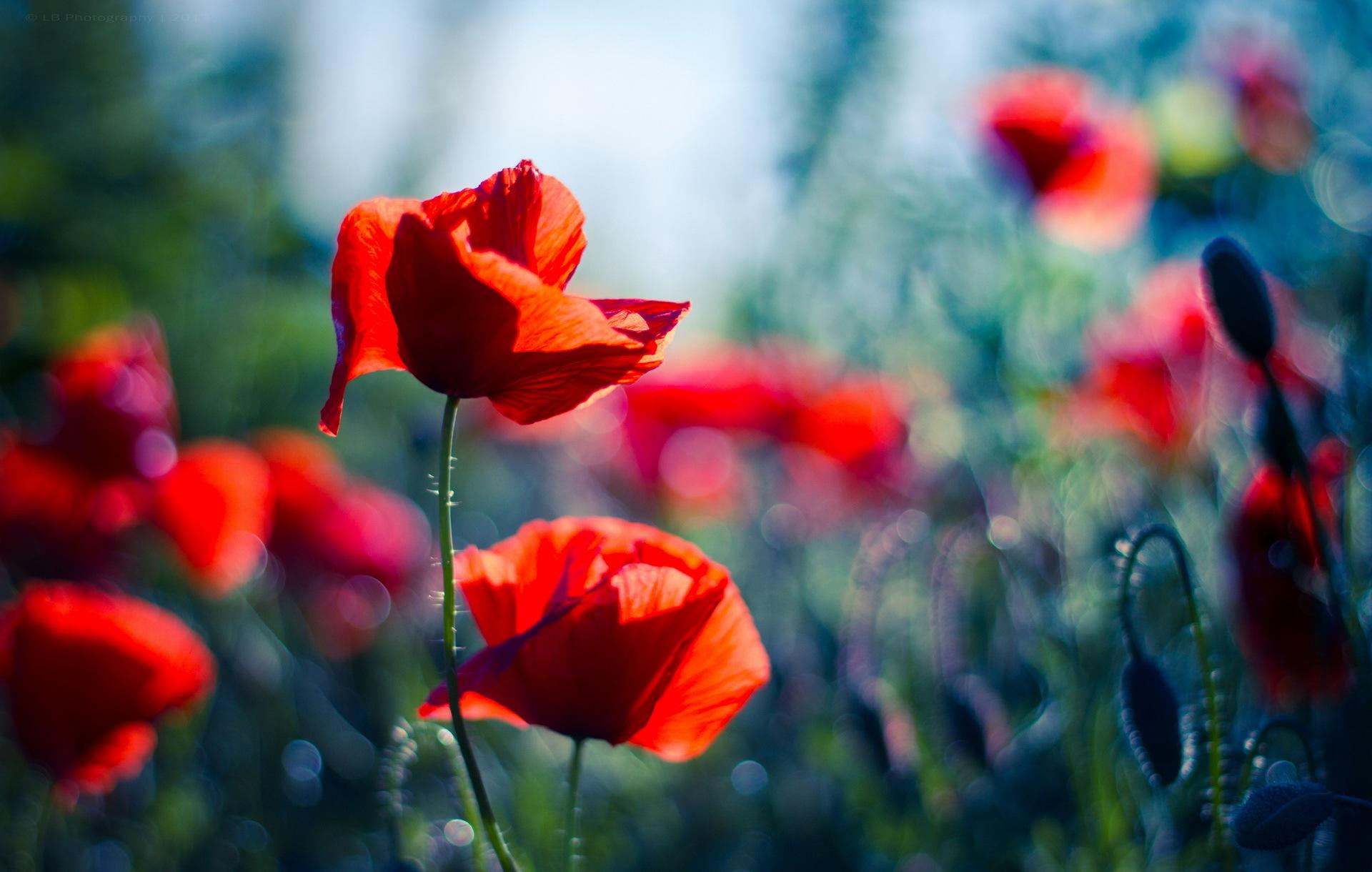 poppy - HD1920×1220