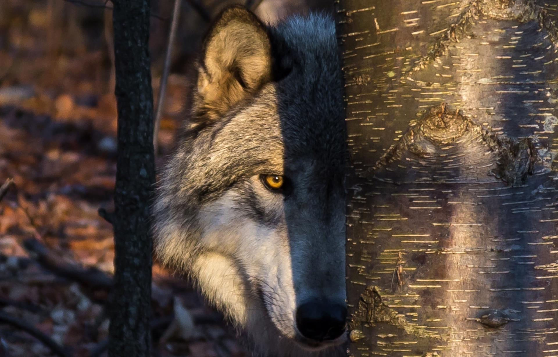 Картинки погони волка за зайцем частных