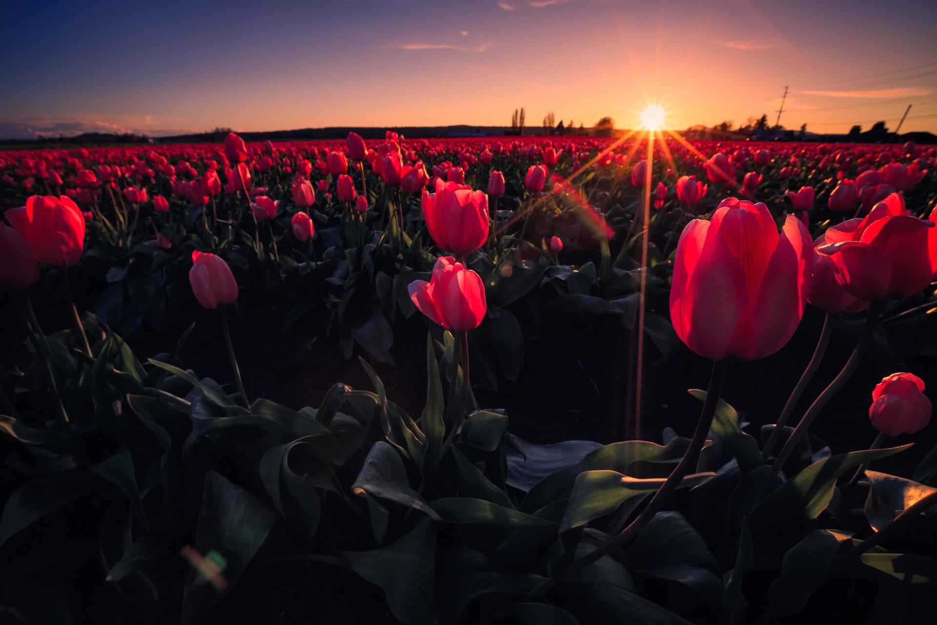 тюльпаны поляна закат  № 3285826 бесплатно