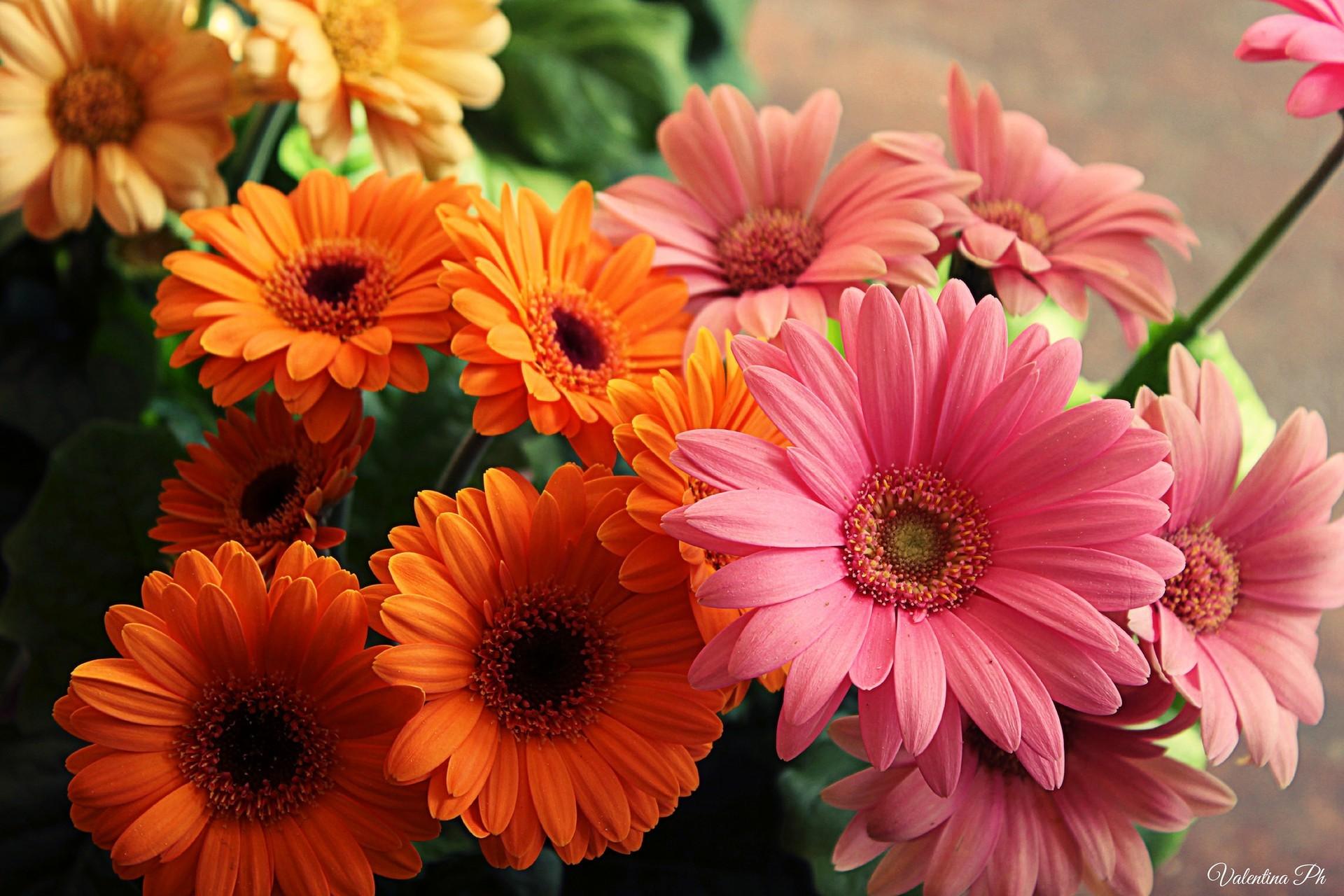 С днем рождения открытки цветы герберы, днем свадьбы поздравляю