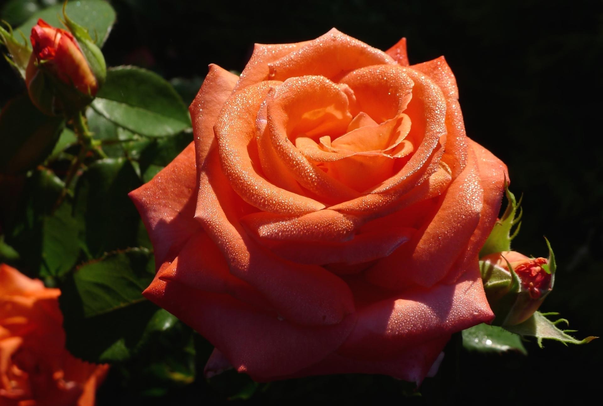 фото роза цевти мере выхода