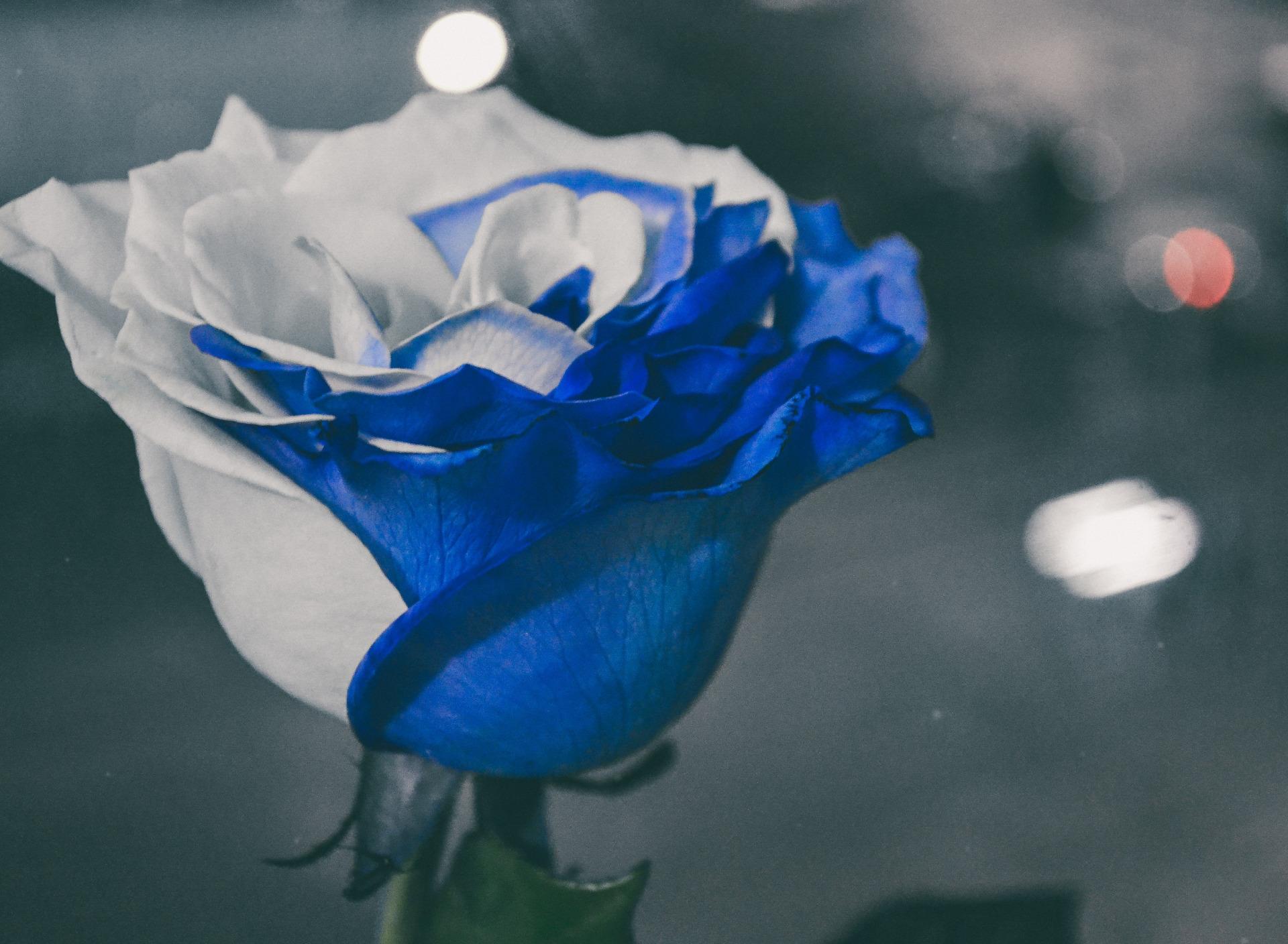 Голубая роза в картинках