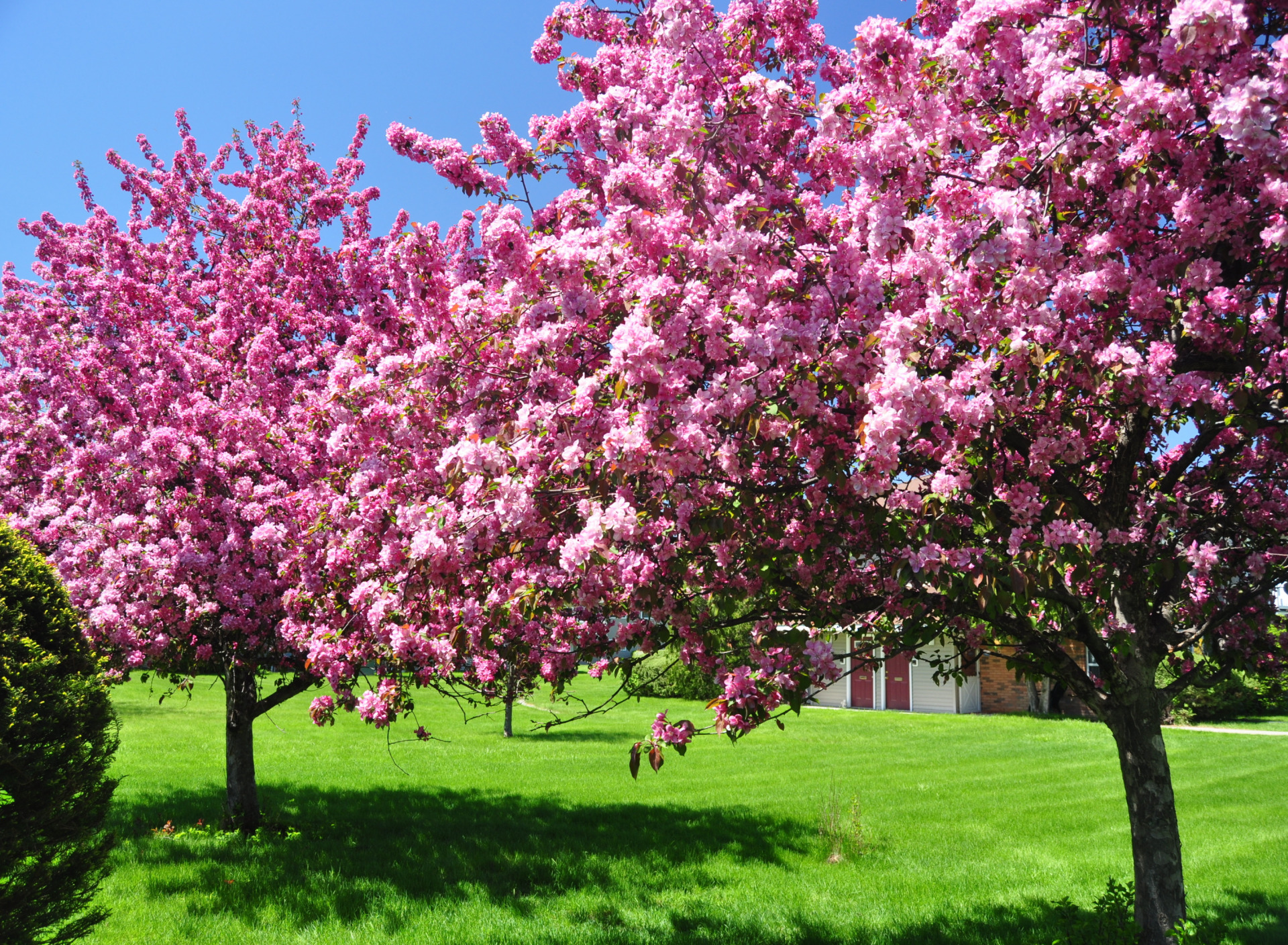 оказании деревья с красивыми цветами фото вычищаем ушной