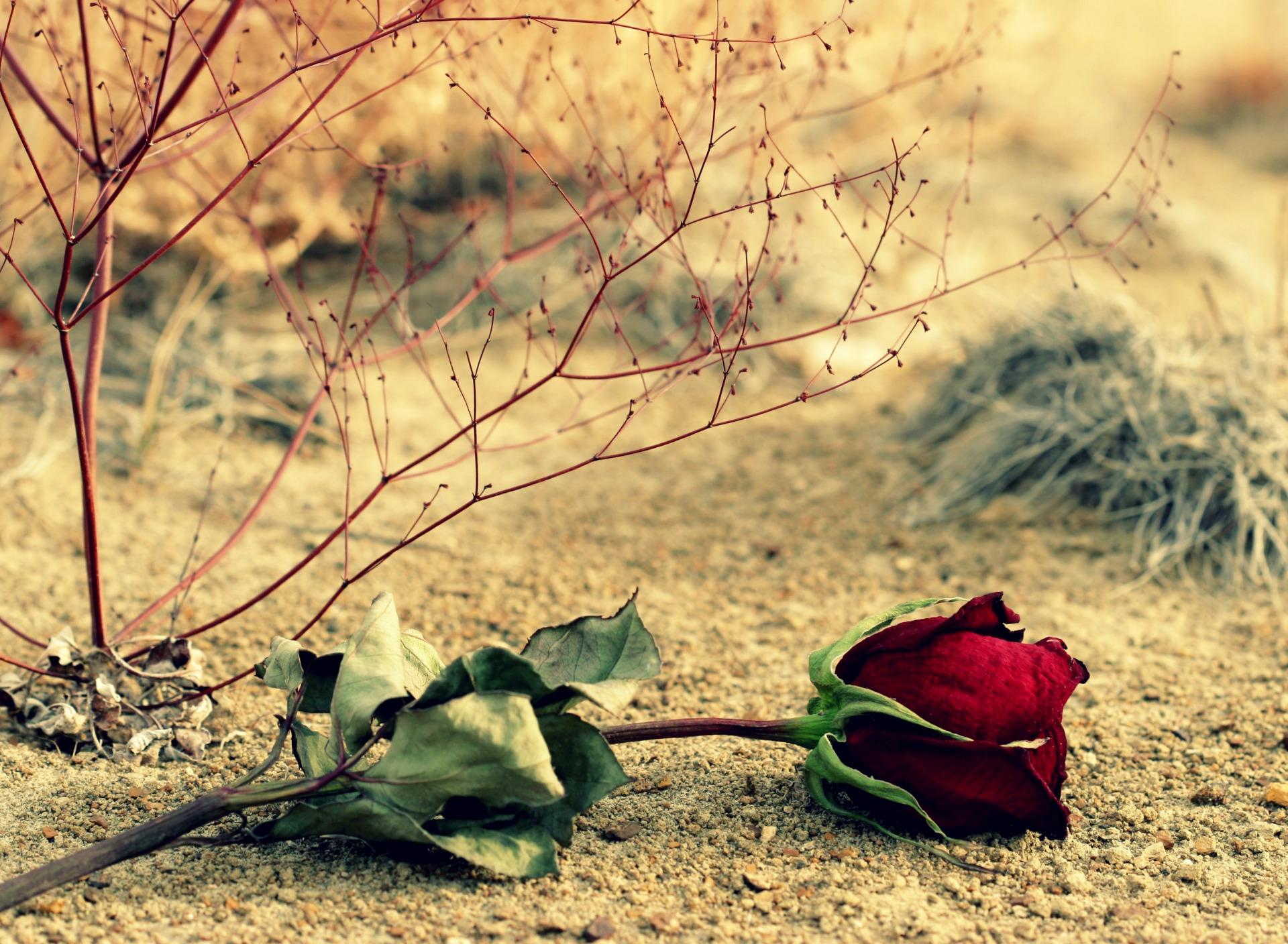 нам опавшие розы фото свою подружку