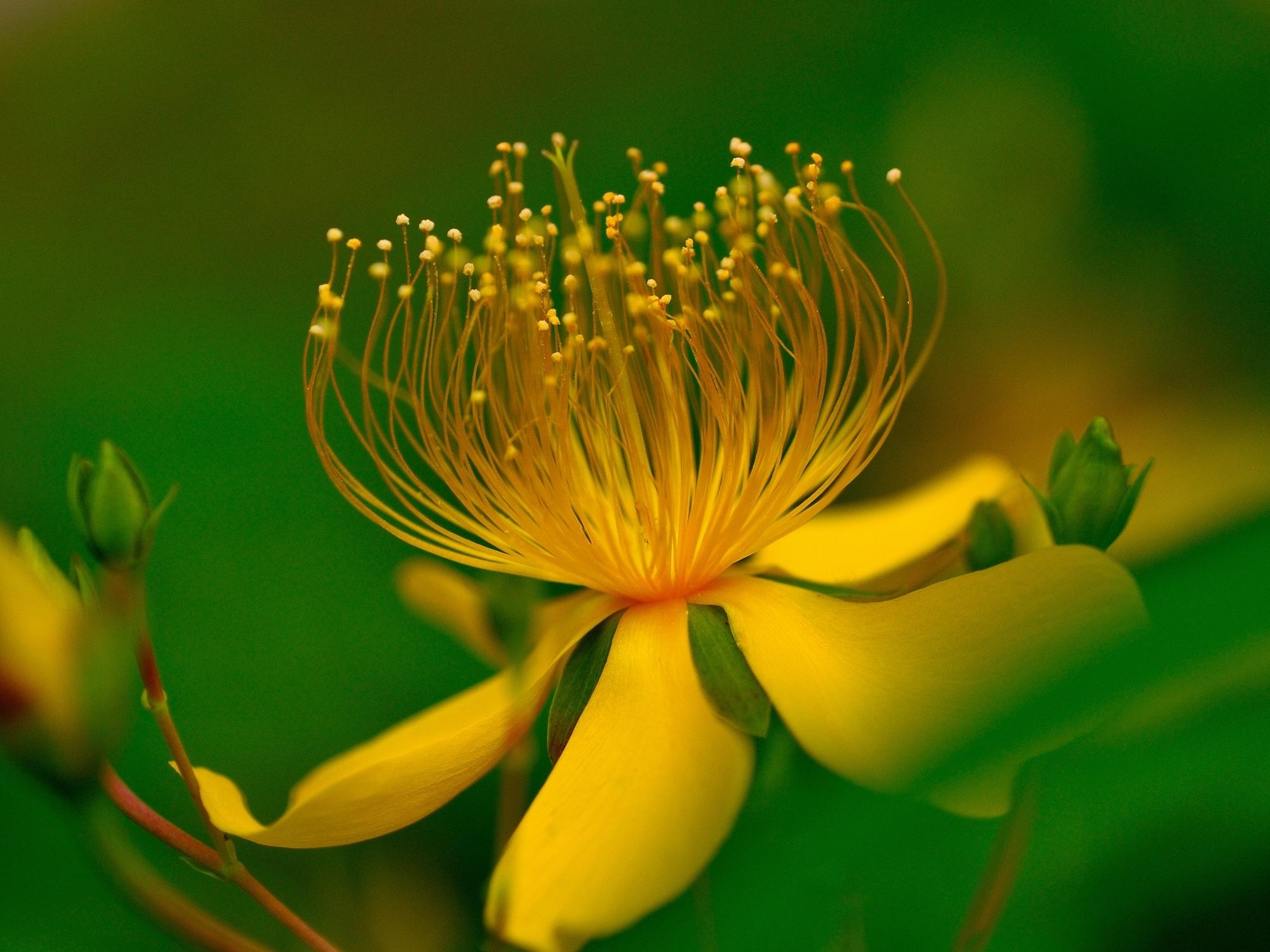 Желтый распустившийся цветок  № 731693  скачать