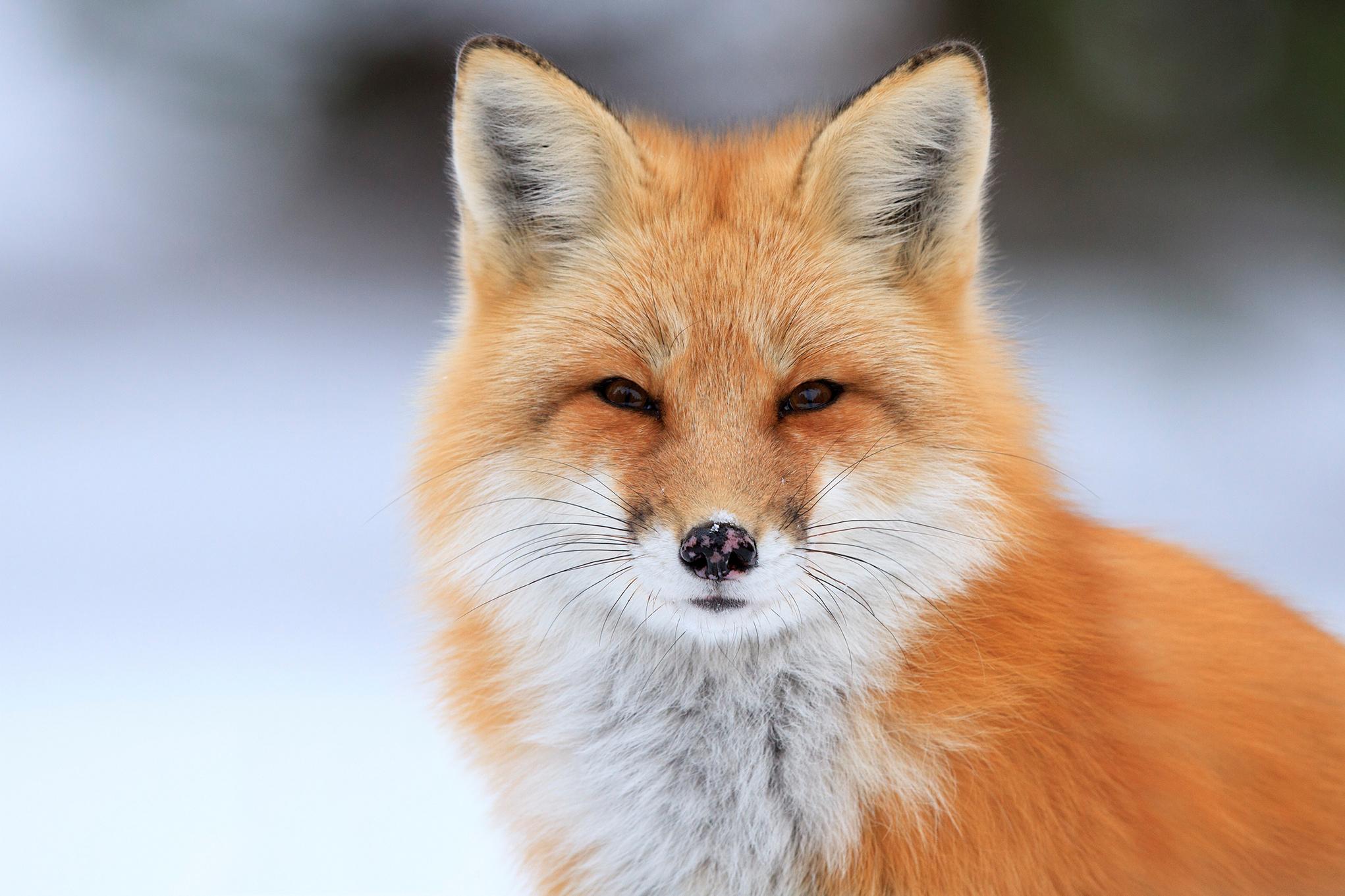 Фото лисы качественное #10