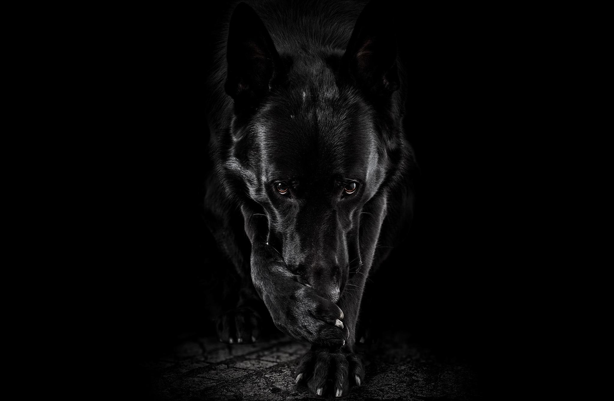 Пёс черный взгляд  № 1127426  скачать