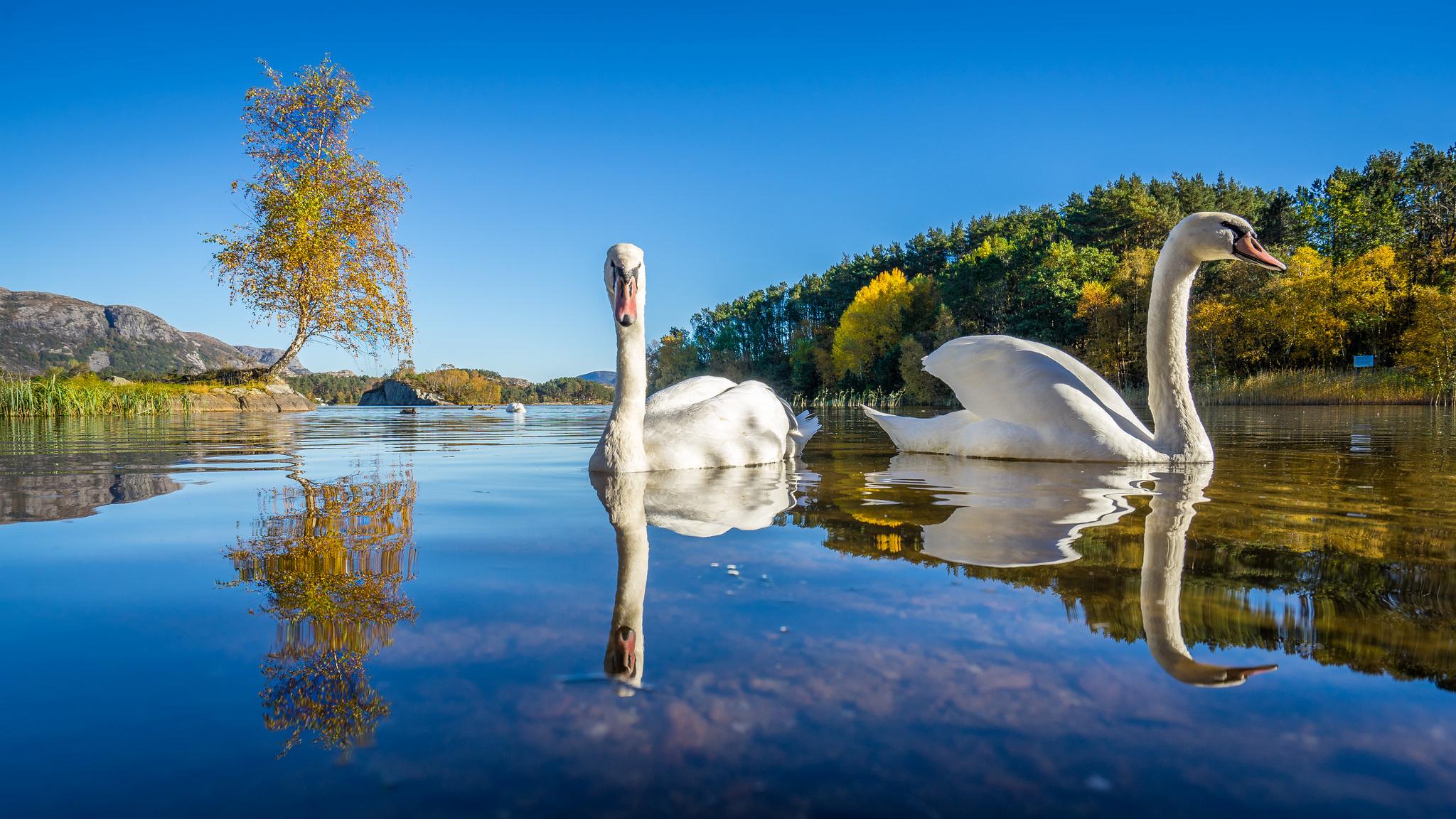 Обои на рабочий стол озеро с лебедями