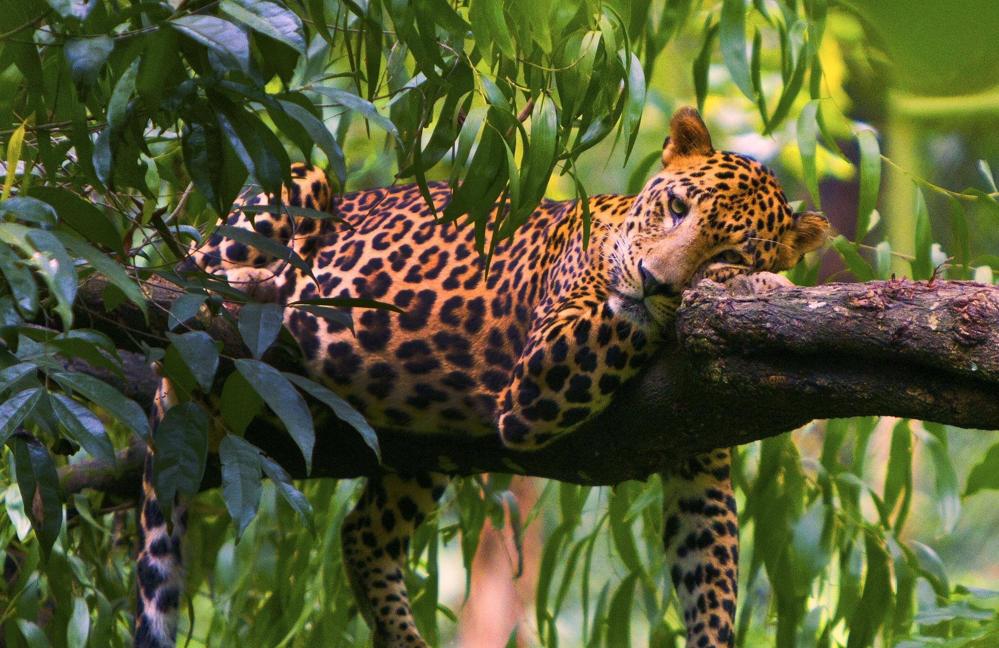 только отправиться фотографии ягуара в природе зависимости предназначения скотины