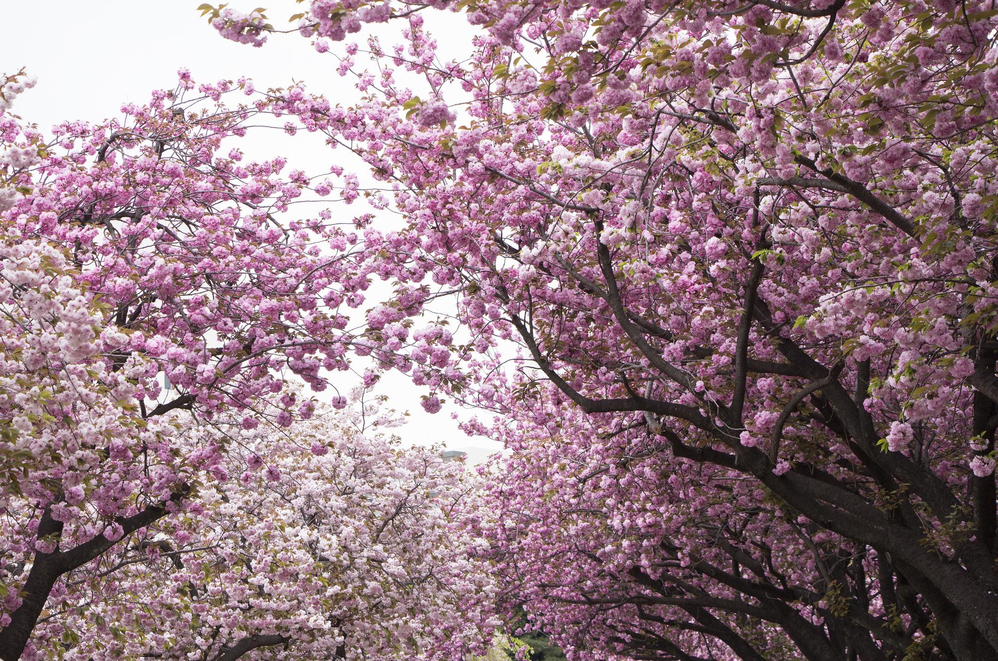отличие картинки сакуры в цвету полностью быть какой-нибудь