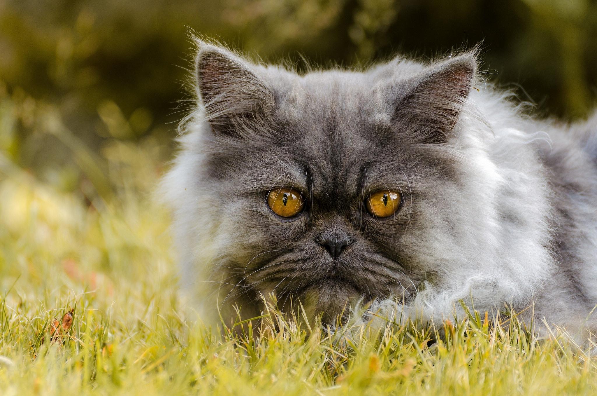Дымчатый кот в траве  № 252469 без смс