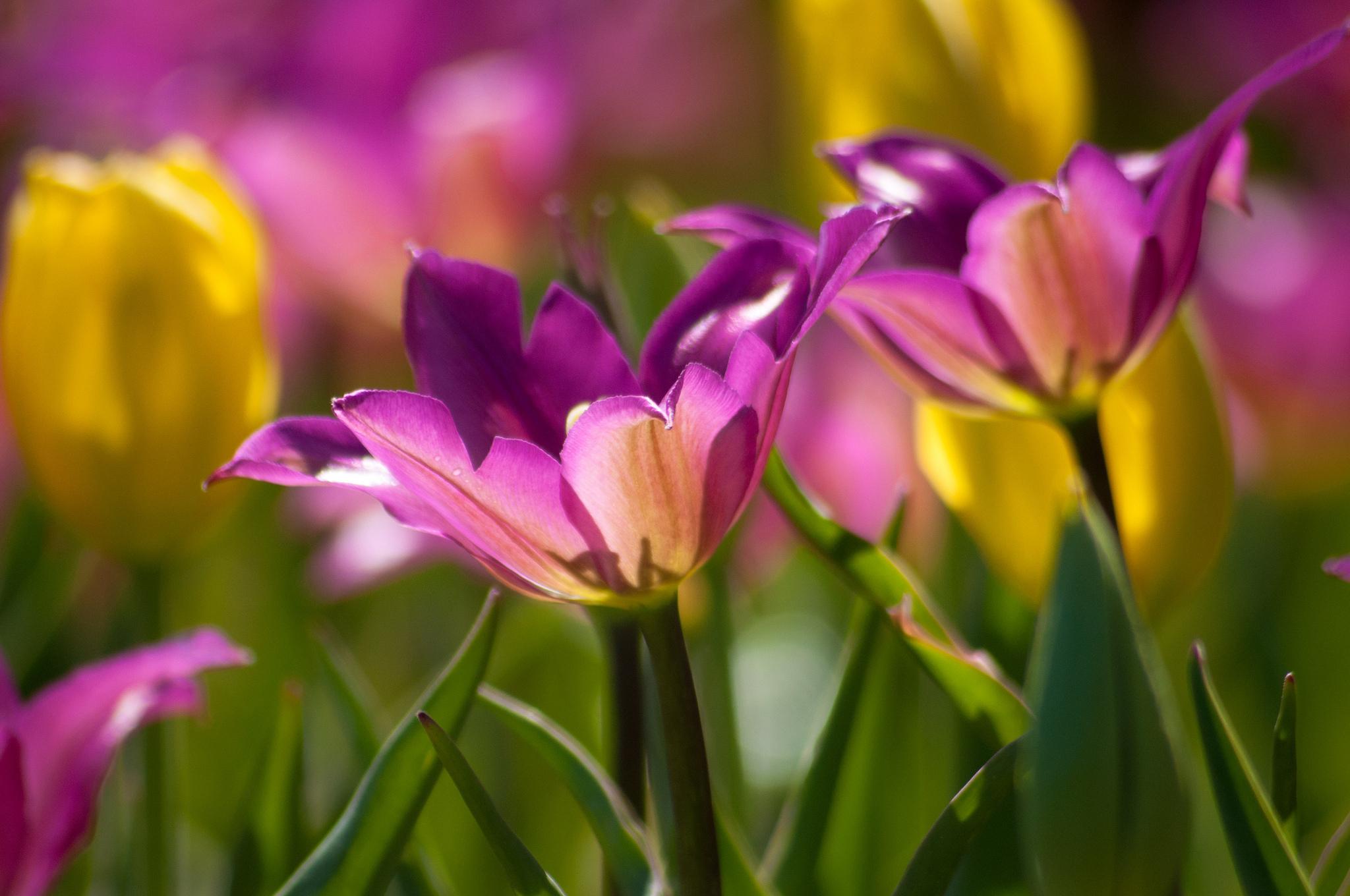 Картинки тюльпаны в феврале ошибочно