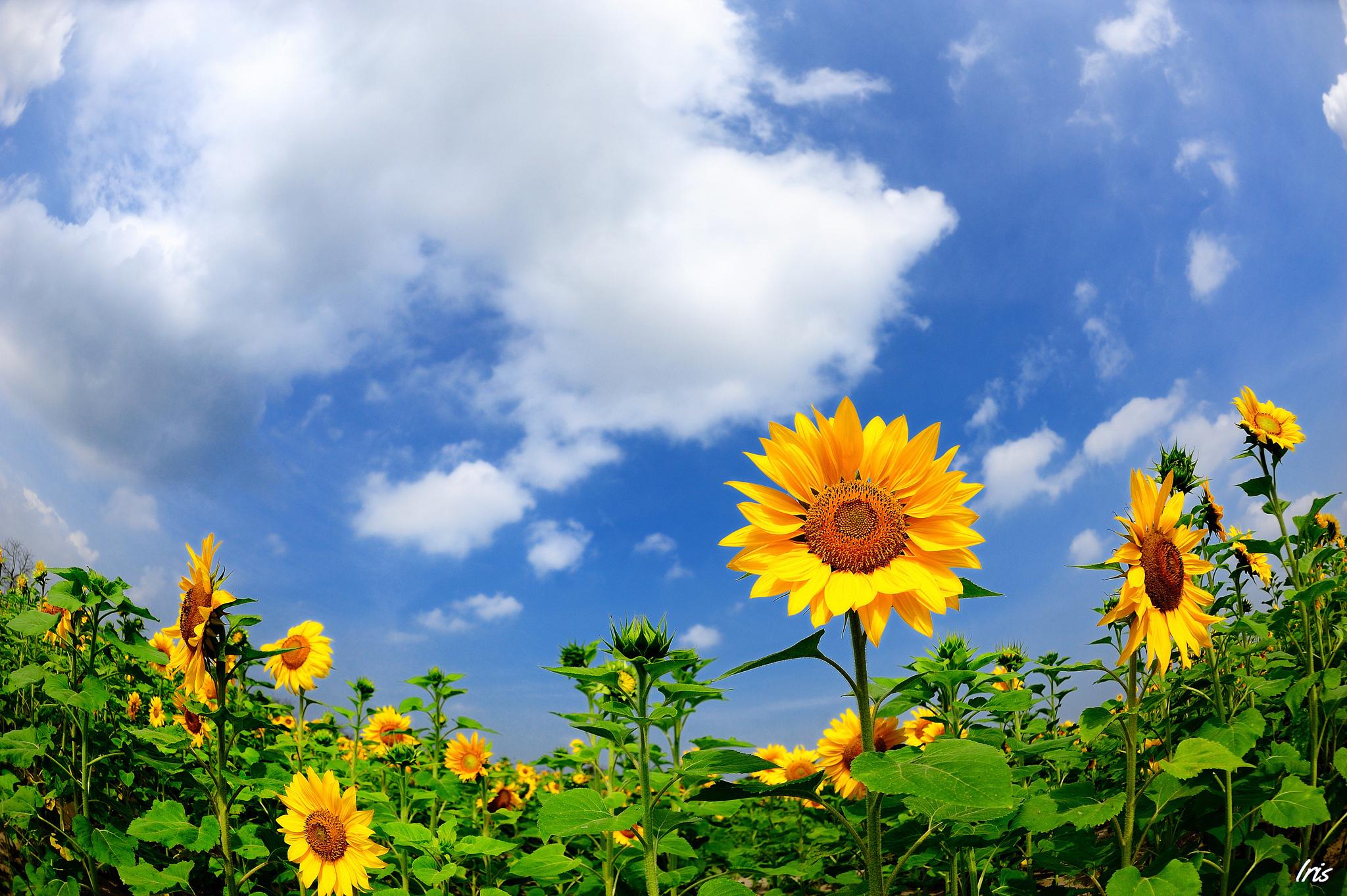 подсолнухи поле sunflowers field  № 419160 бесплатно