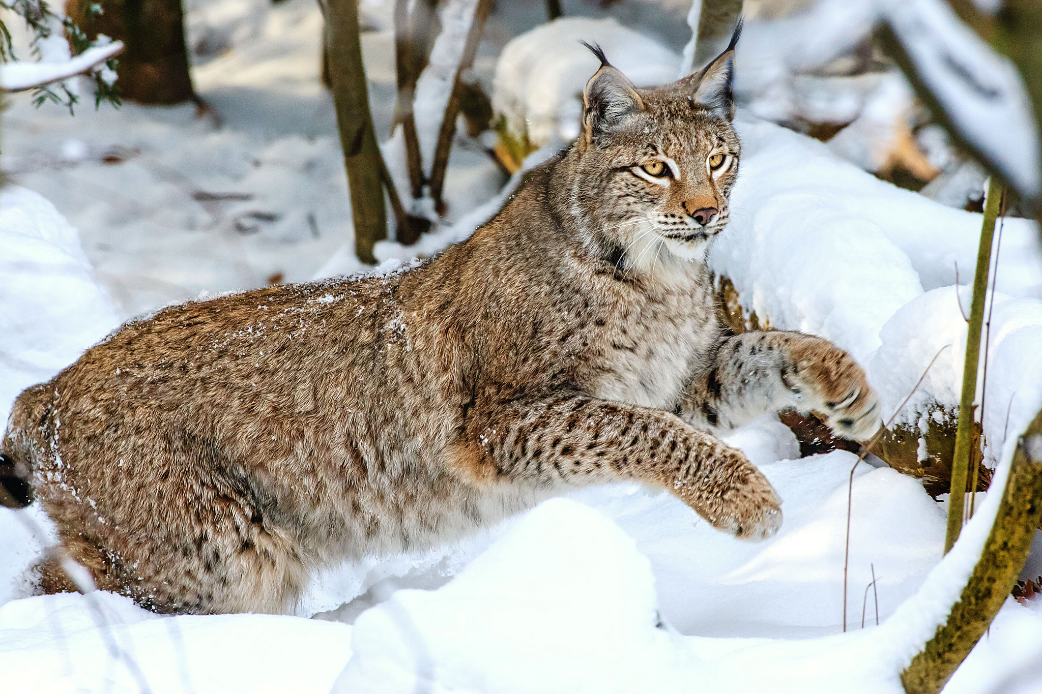 природа животные ветка деревья рысь nature animals branch trees lynx  № 560021 без смс