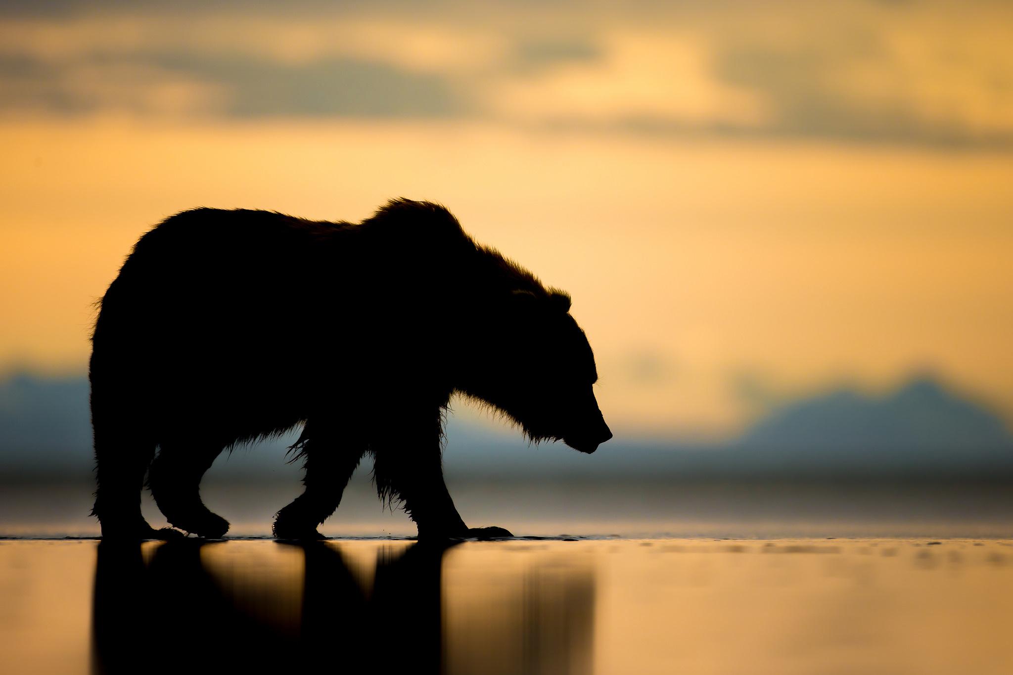 Alaskan Brown Bear Silhouetted Against Mount Katolinat, Alaska  № 1442462 загрузить