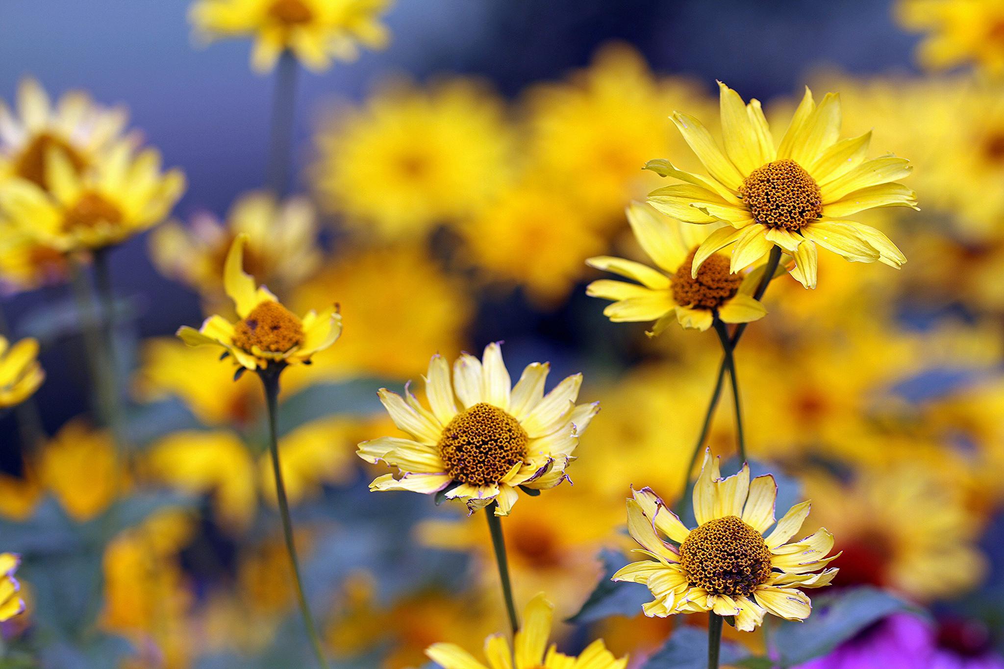 Желтые ромашки цветы желтые цветы размытость  № 3831063 загрузить