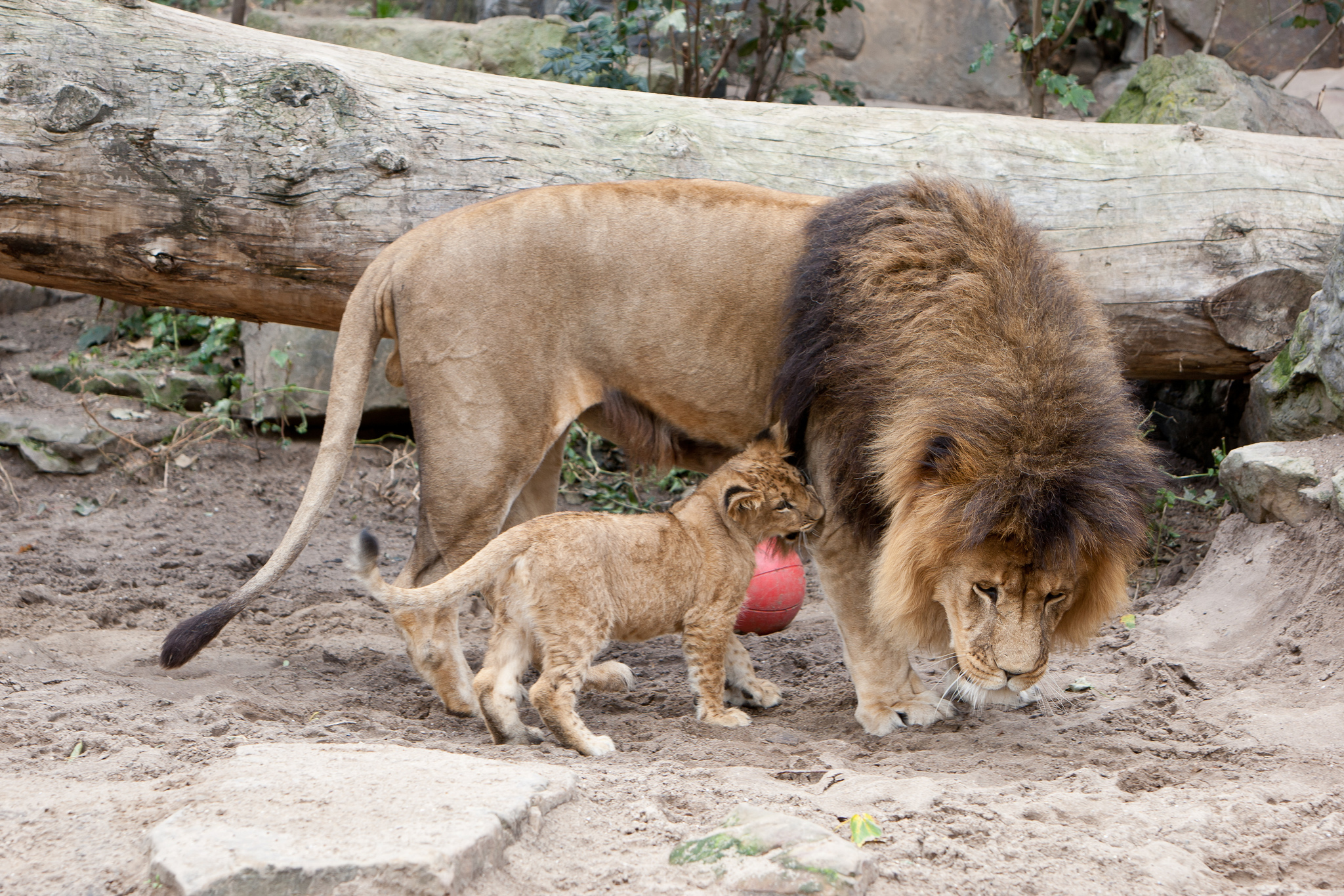 Картинки со львами и кошками