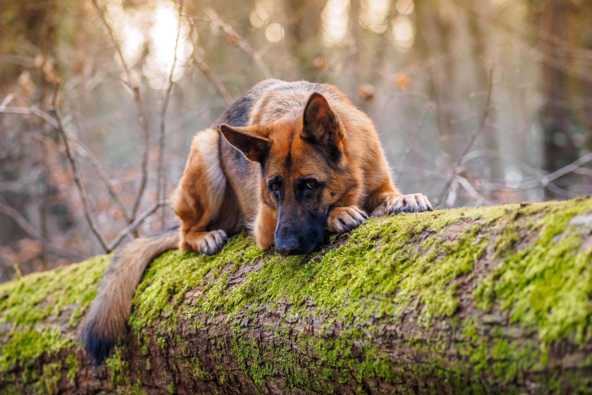 природа животные собака немецка овчарка nature animals dog the German shepherd  № 1004464 загрузить