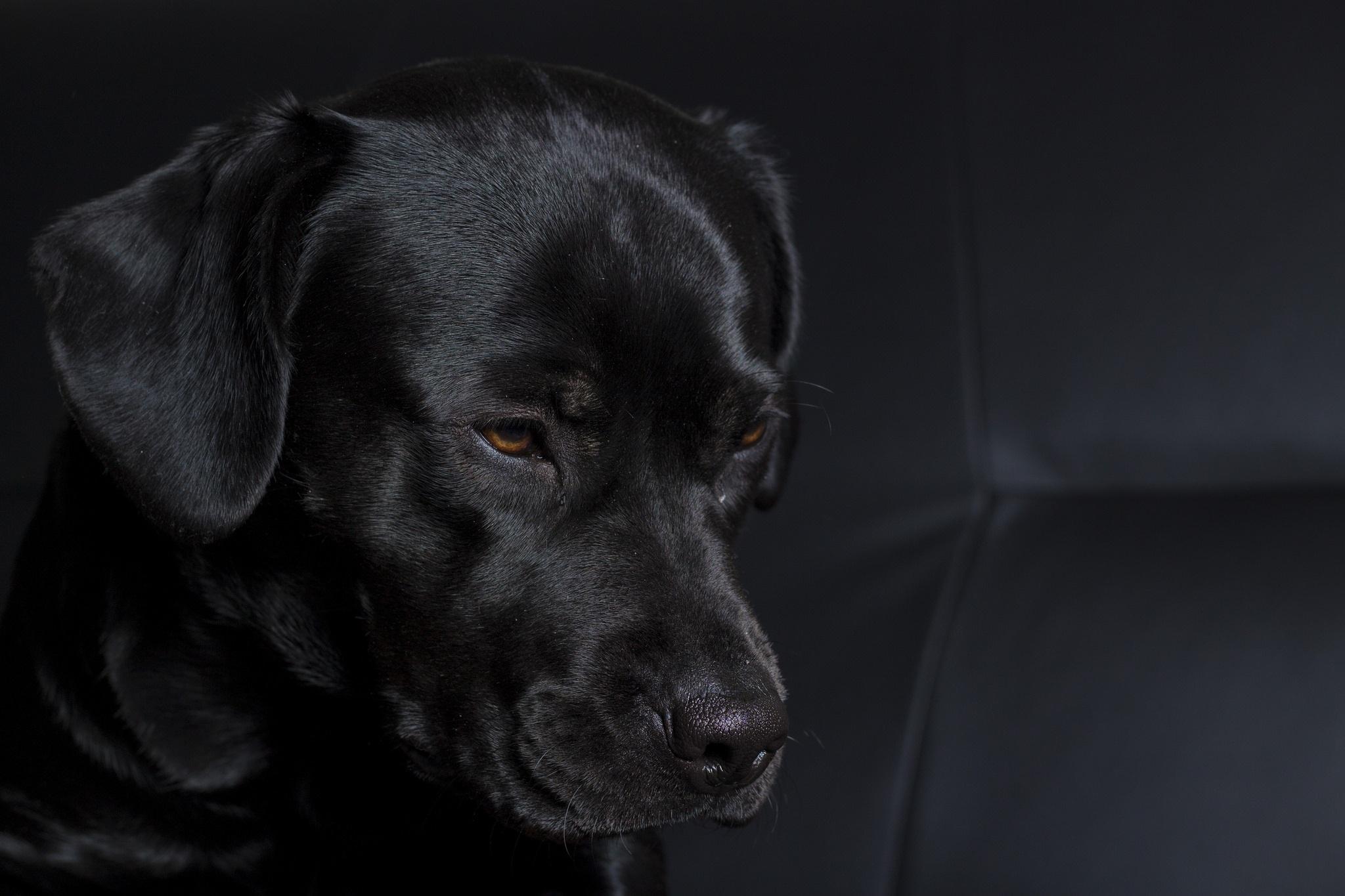 эту картинки рабочего стола черные собаки обзор