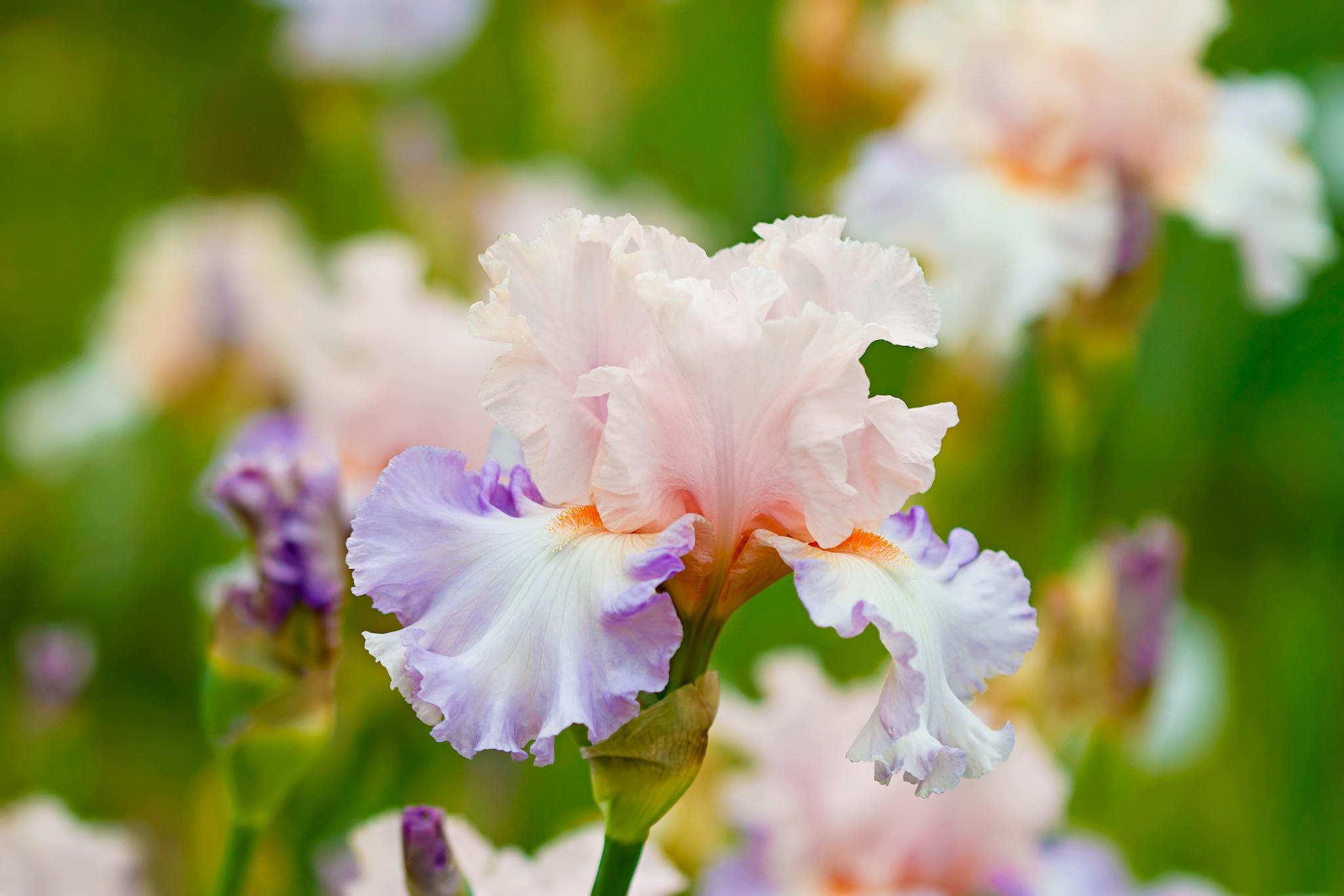 шмель,ирис,цветок,лето  № 529531 бесплатно