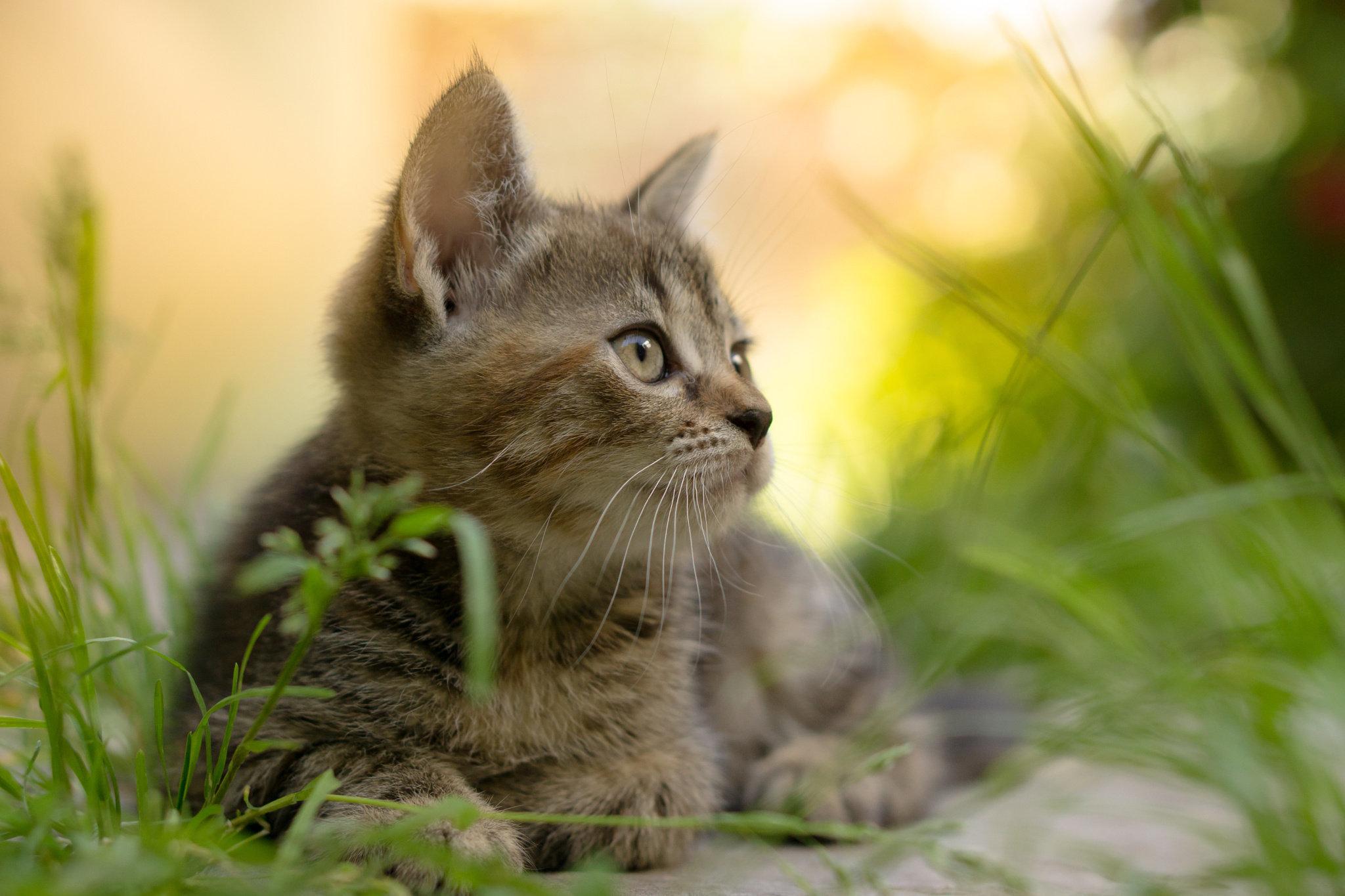 Дымчатый кот в траве  № 252553  скачать