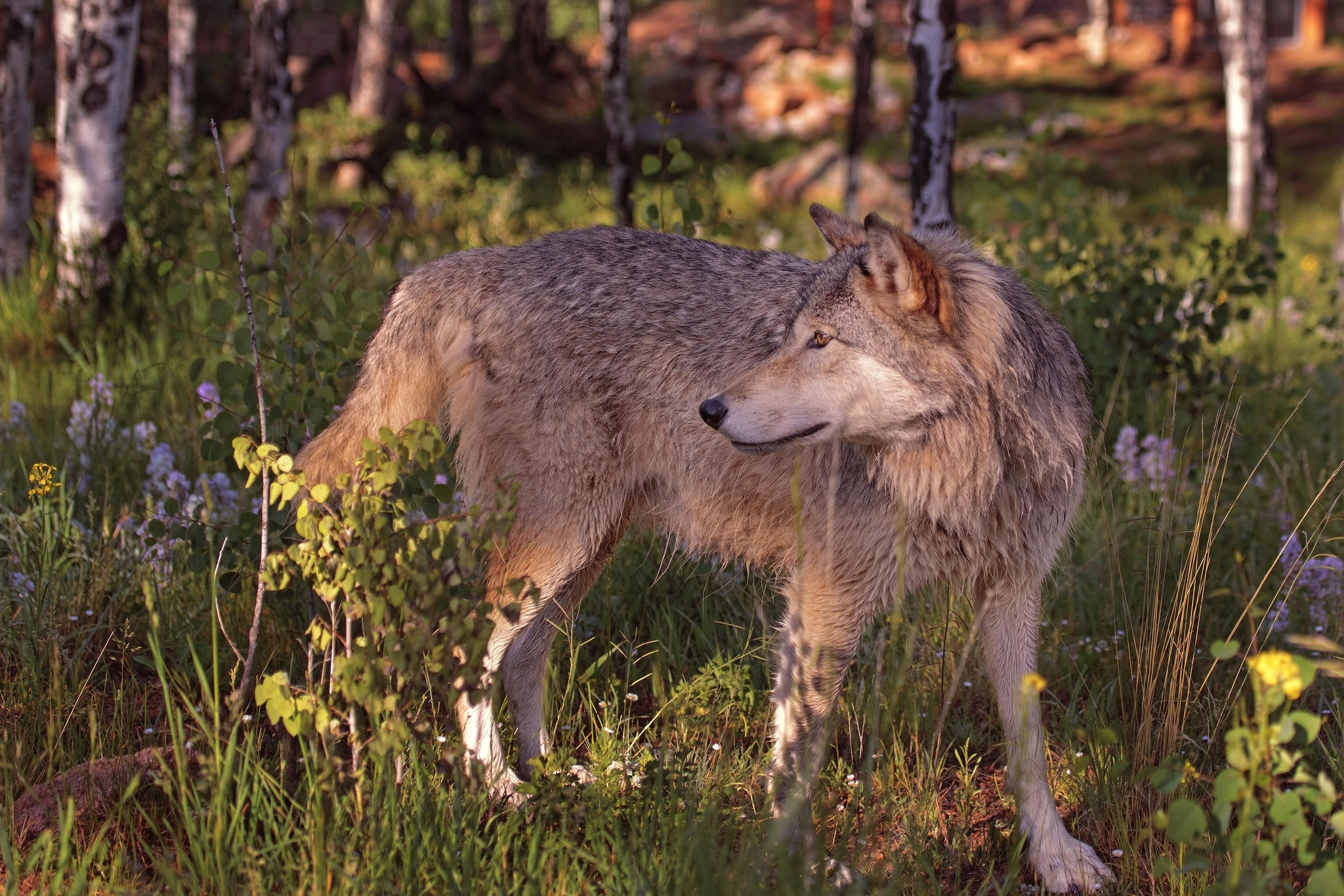 конце мая волки в лесах картинки фото особенностях ухода