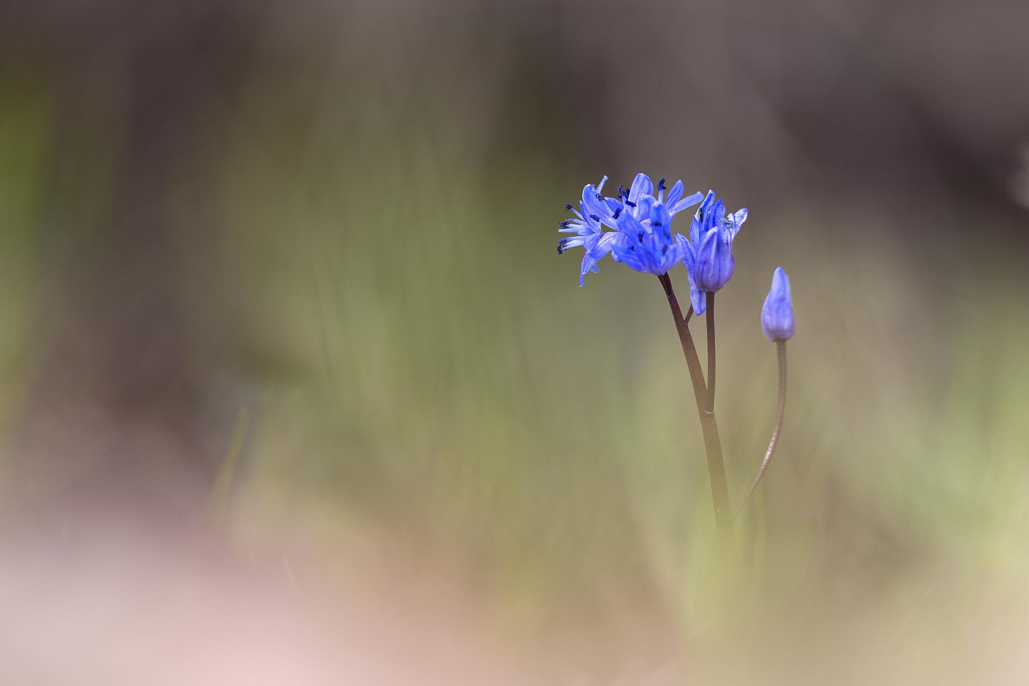 природа синие цветы nature blue flowers  № 1376544 бесплатно