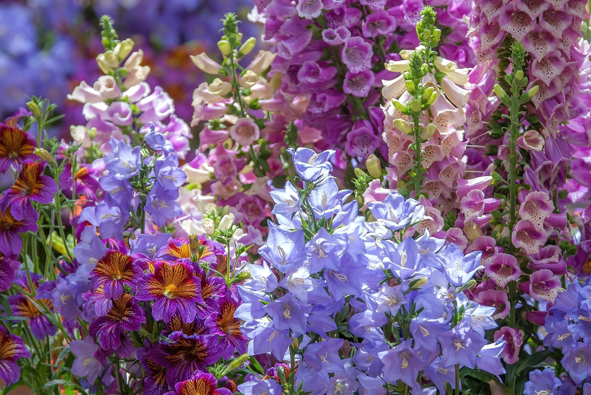 колокольчики фото цветов в саду выводы