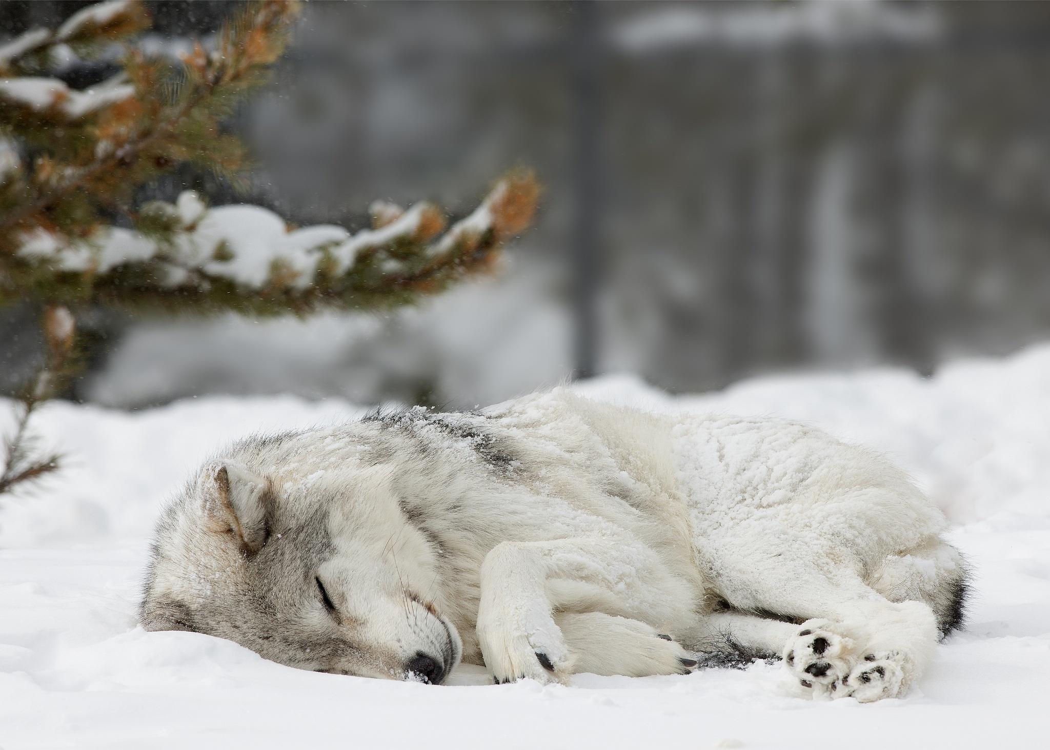 которые плачут, картинка лес волк снег меня, чтобы видел