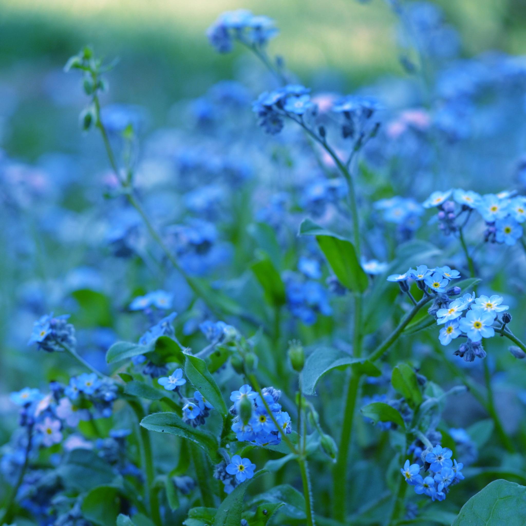 синие цветы незабудки крупный план роса  № 2779641 загрузить