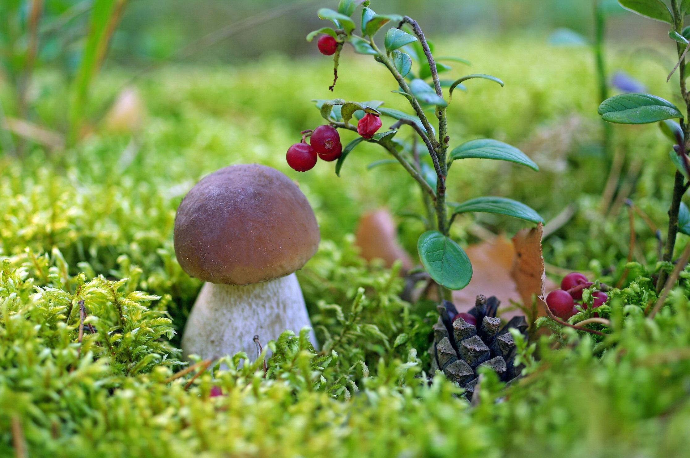 Обои на рабочий стол грибы и ягоды в лесу