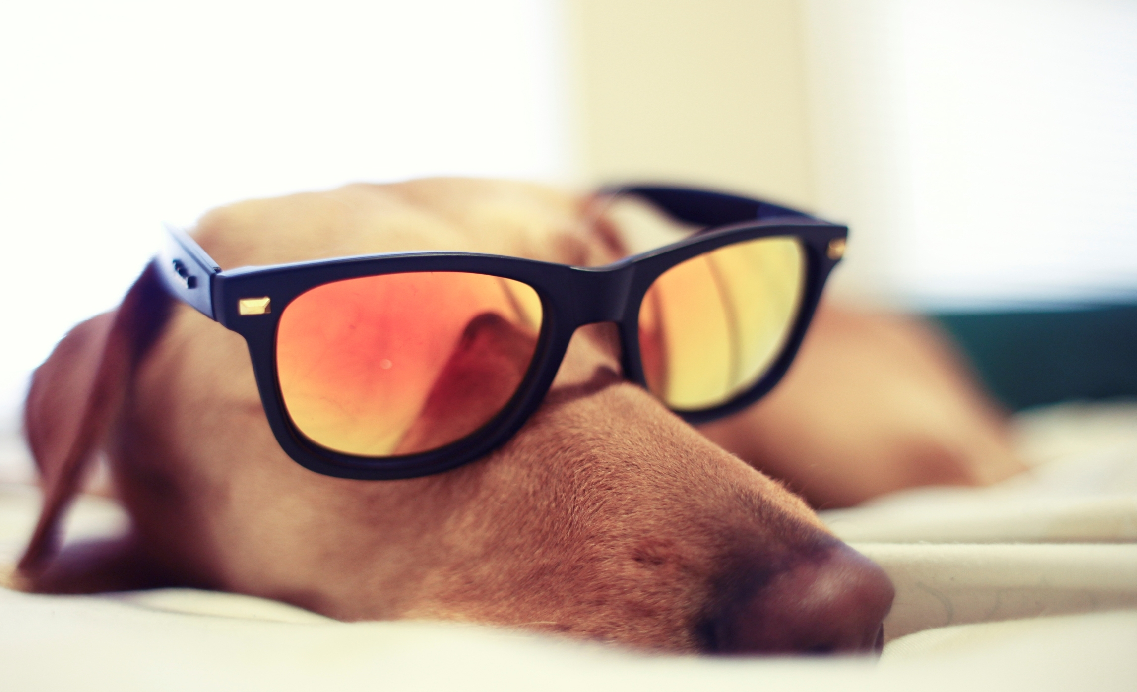 dog with glasses - HD1920×1080