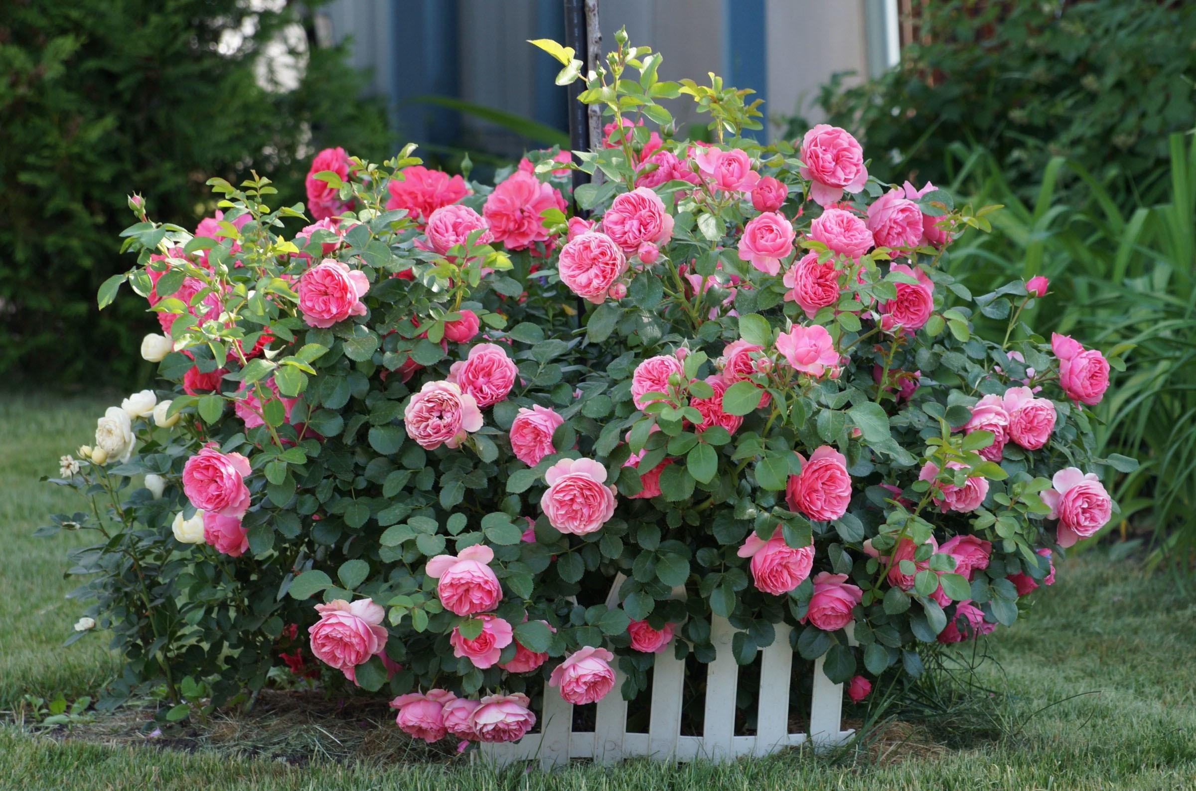 Розы куст забор  № 3015264 загрузить