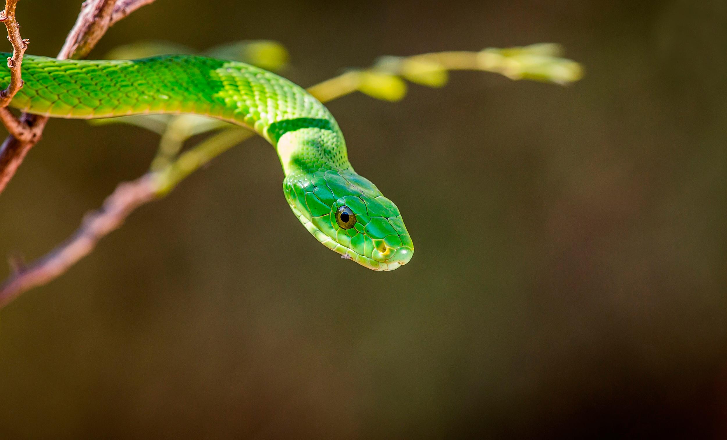 змея зелёная мамба