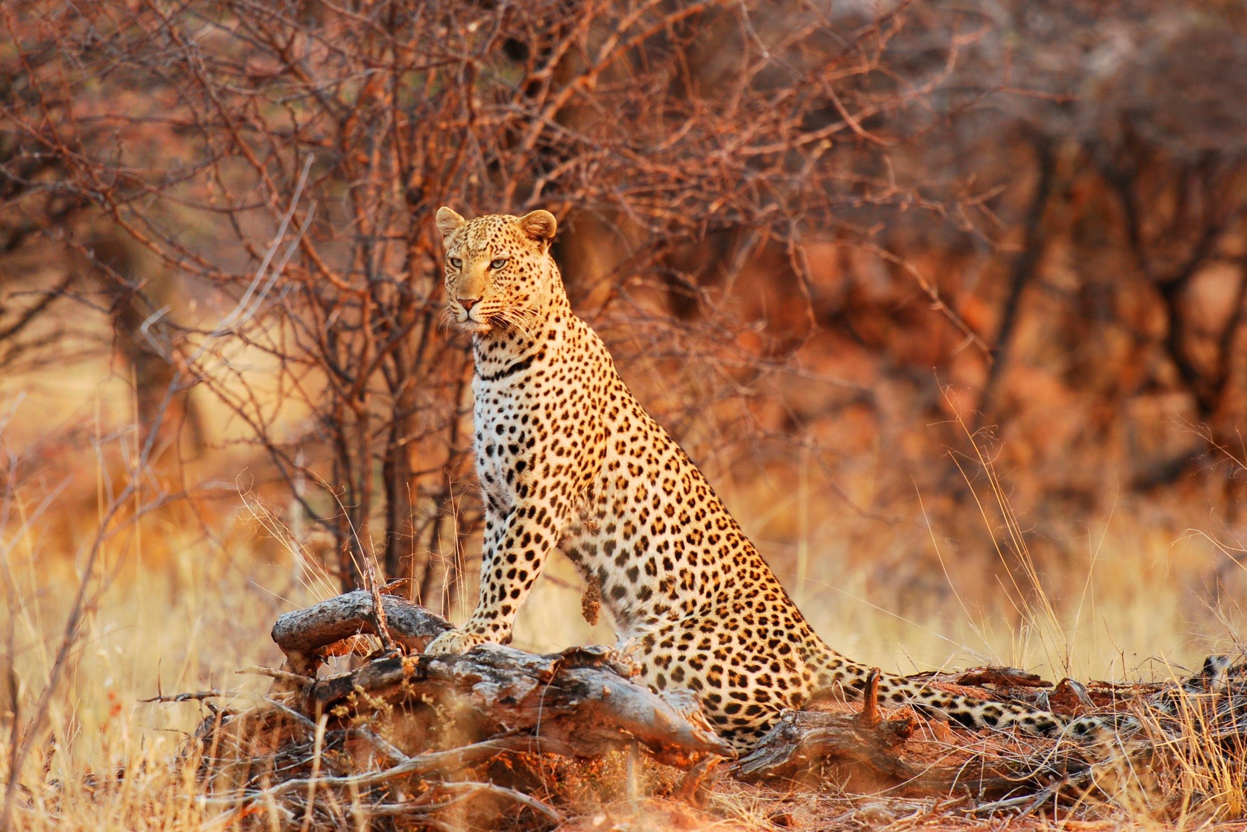 природа животные Гепарды камни трава дерево горизонт  № 276728 без смс